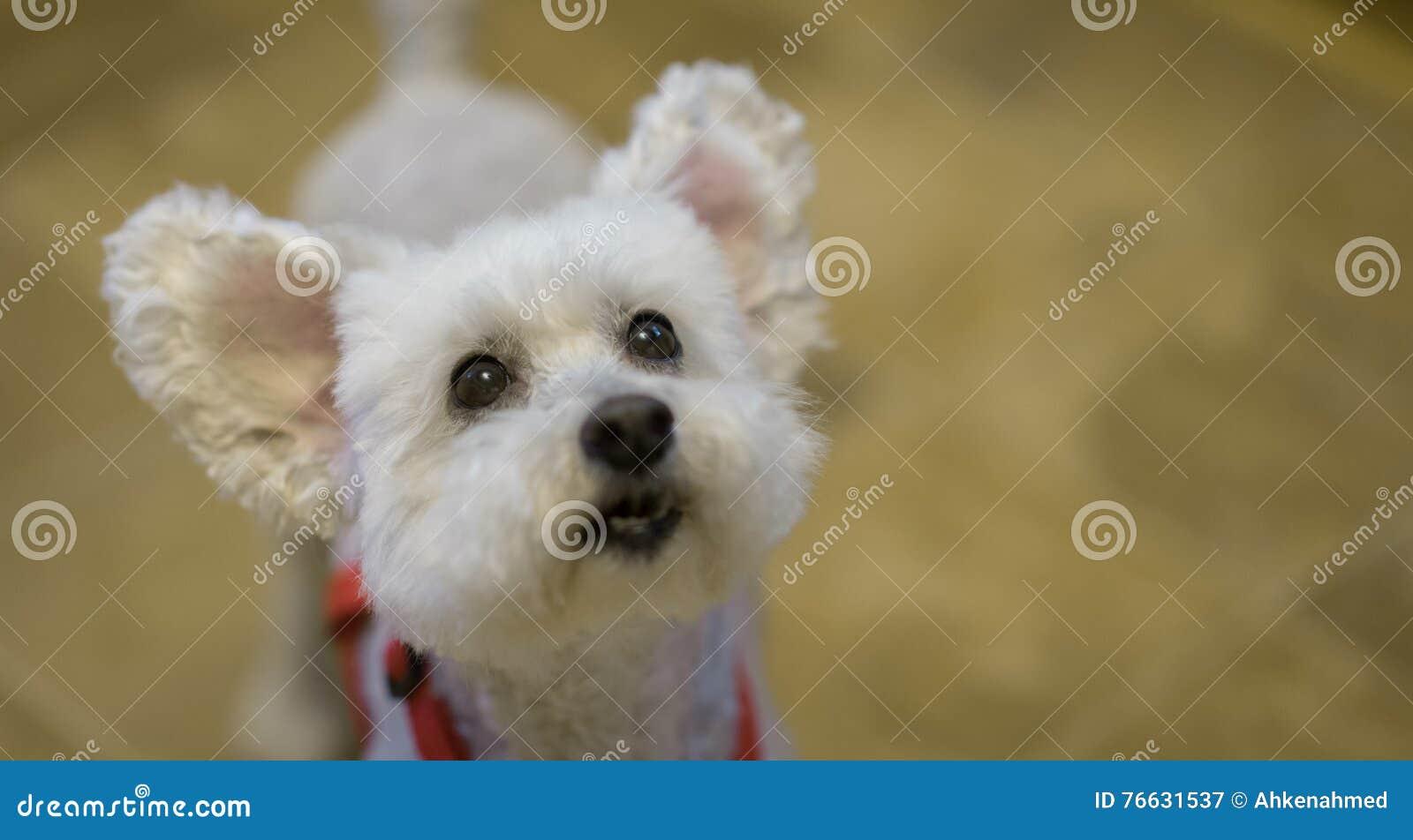 Милая и прелестная белая собака пуделя с ушами вверх Фокус на глазах