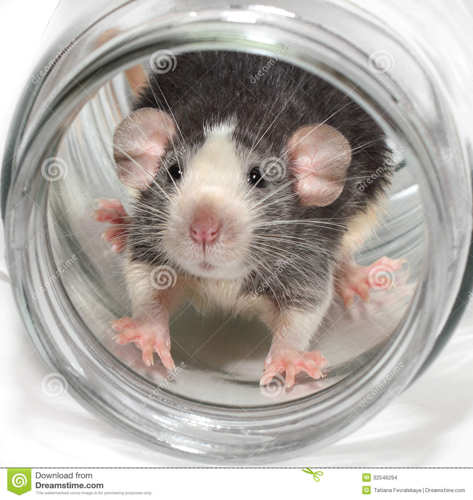 Милая крыса dumbo