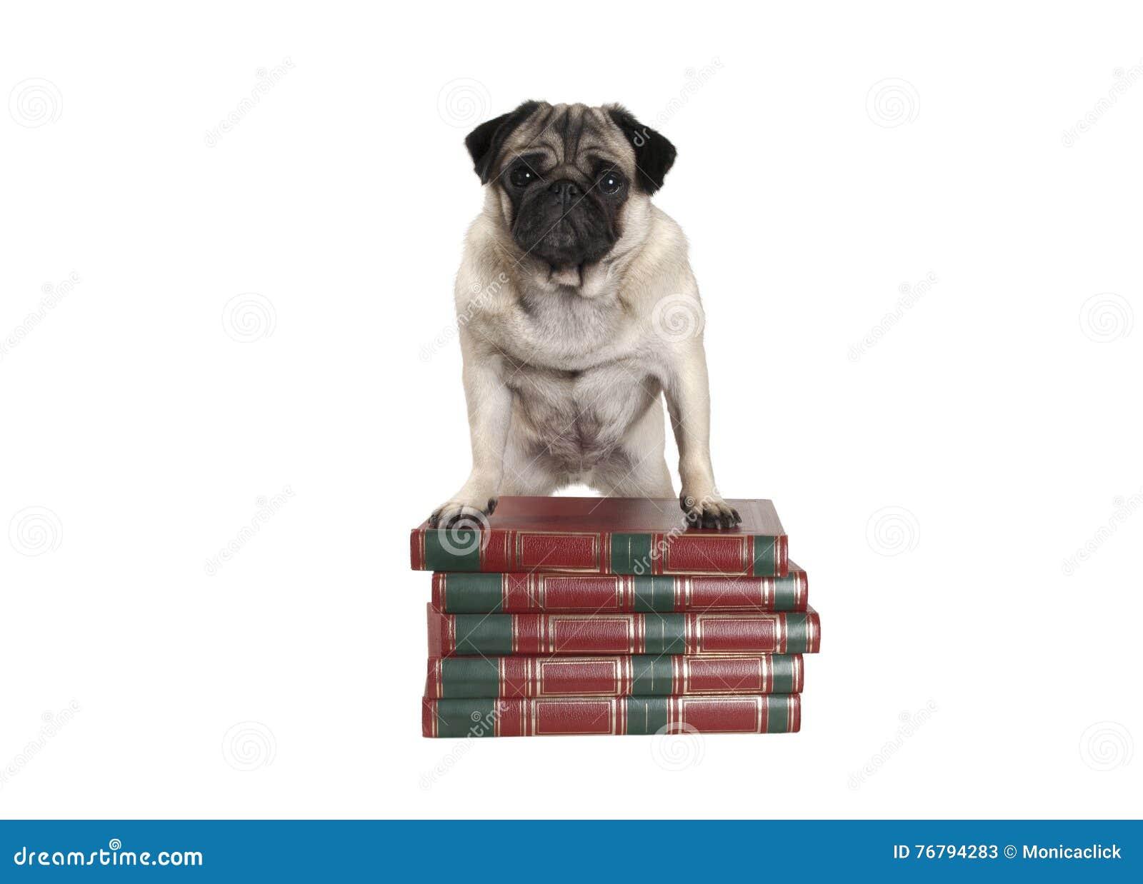 Милая маленькая собака мопса стоя на книгах с передними ногами