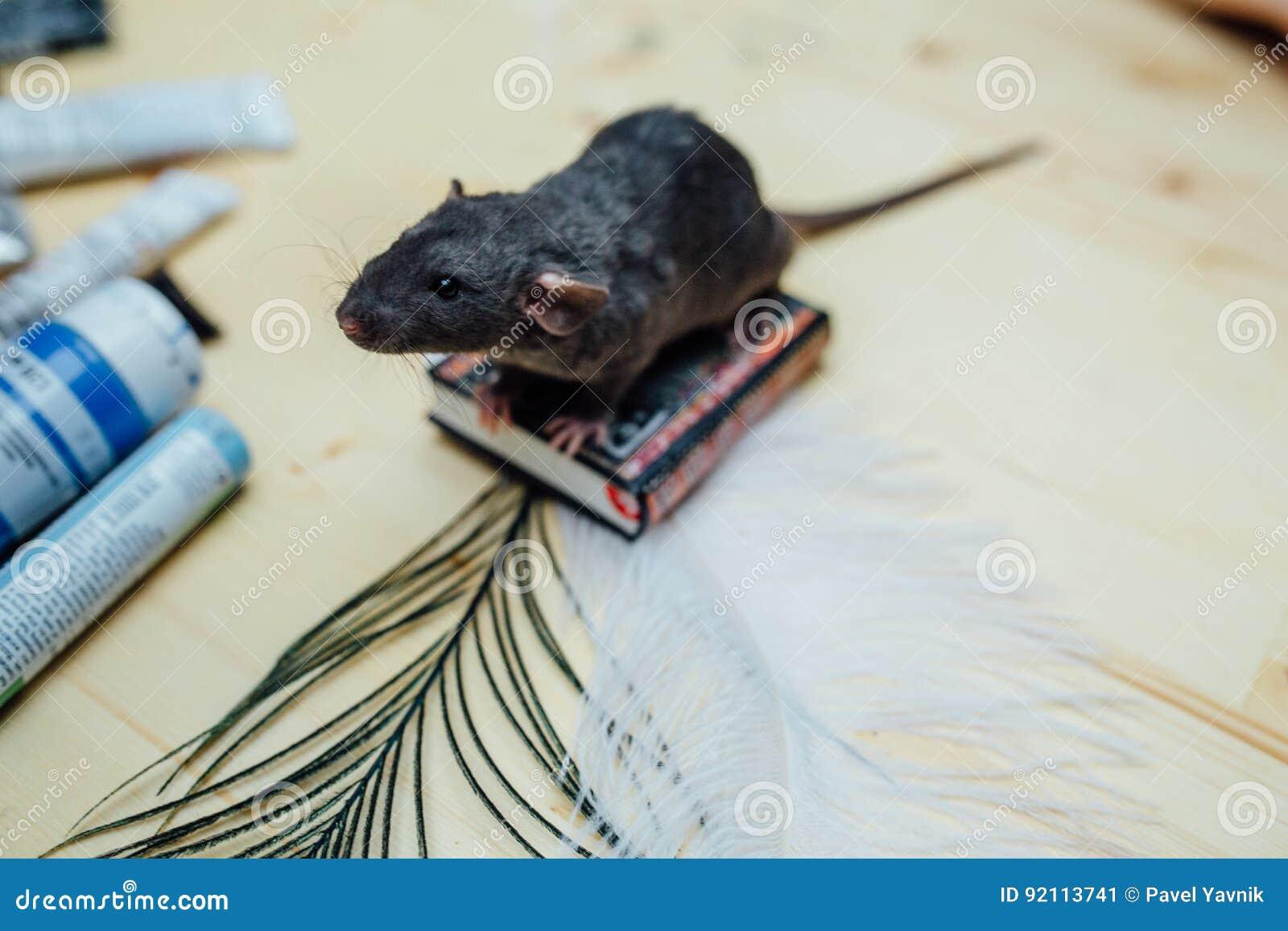 Милая смешная курчавая крыса щенка сидит на миниатюрной книге на деревянном столе с пером , крупный план