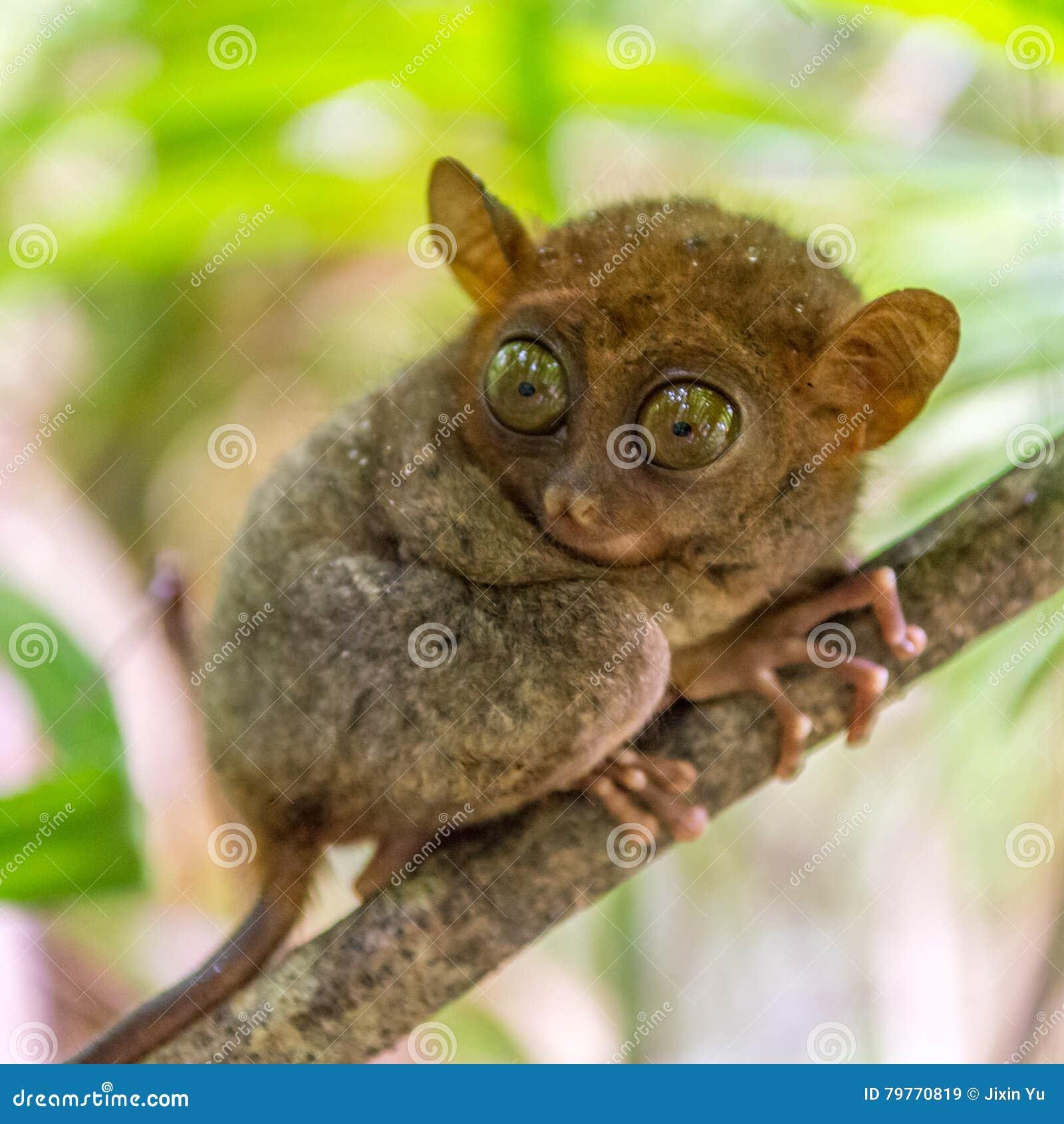 Милое tarsier в Bohol