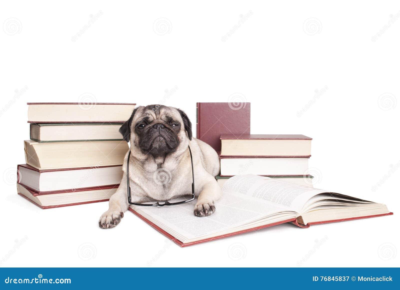 Милые маленькие книги чтения щенка собаки мопса с стеклами чтения