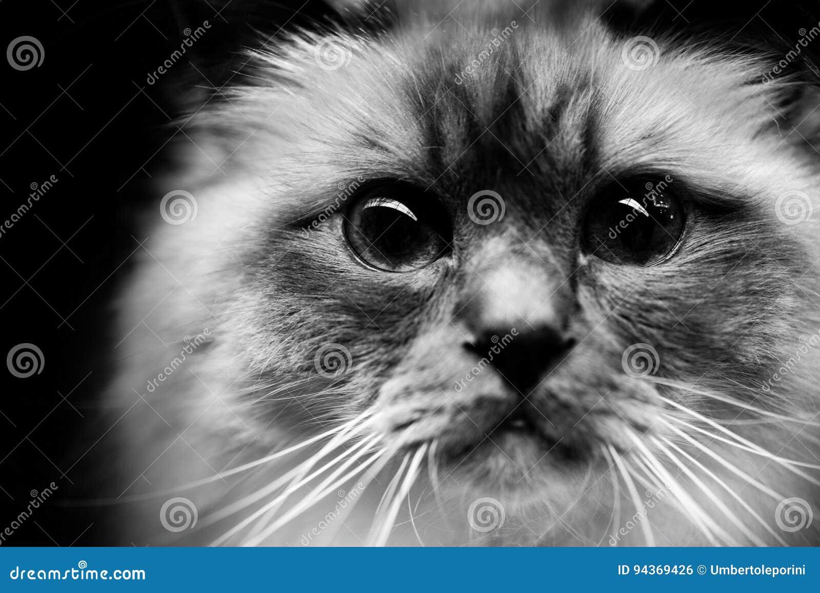 Милые портреты животных бирманского кота черно-белые