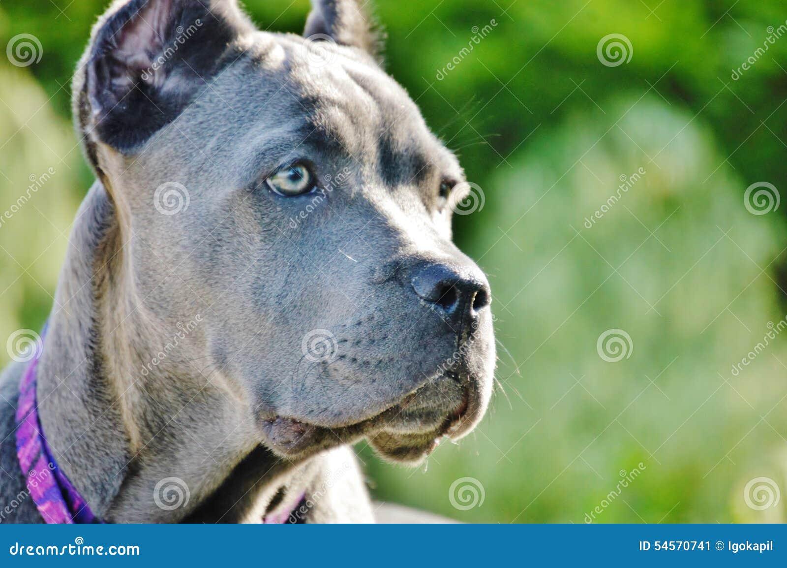 Милый взгляд corso тросточки mastiff 4 месяцев старый итальянский