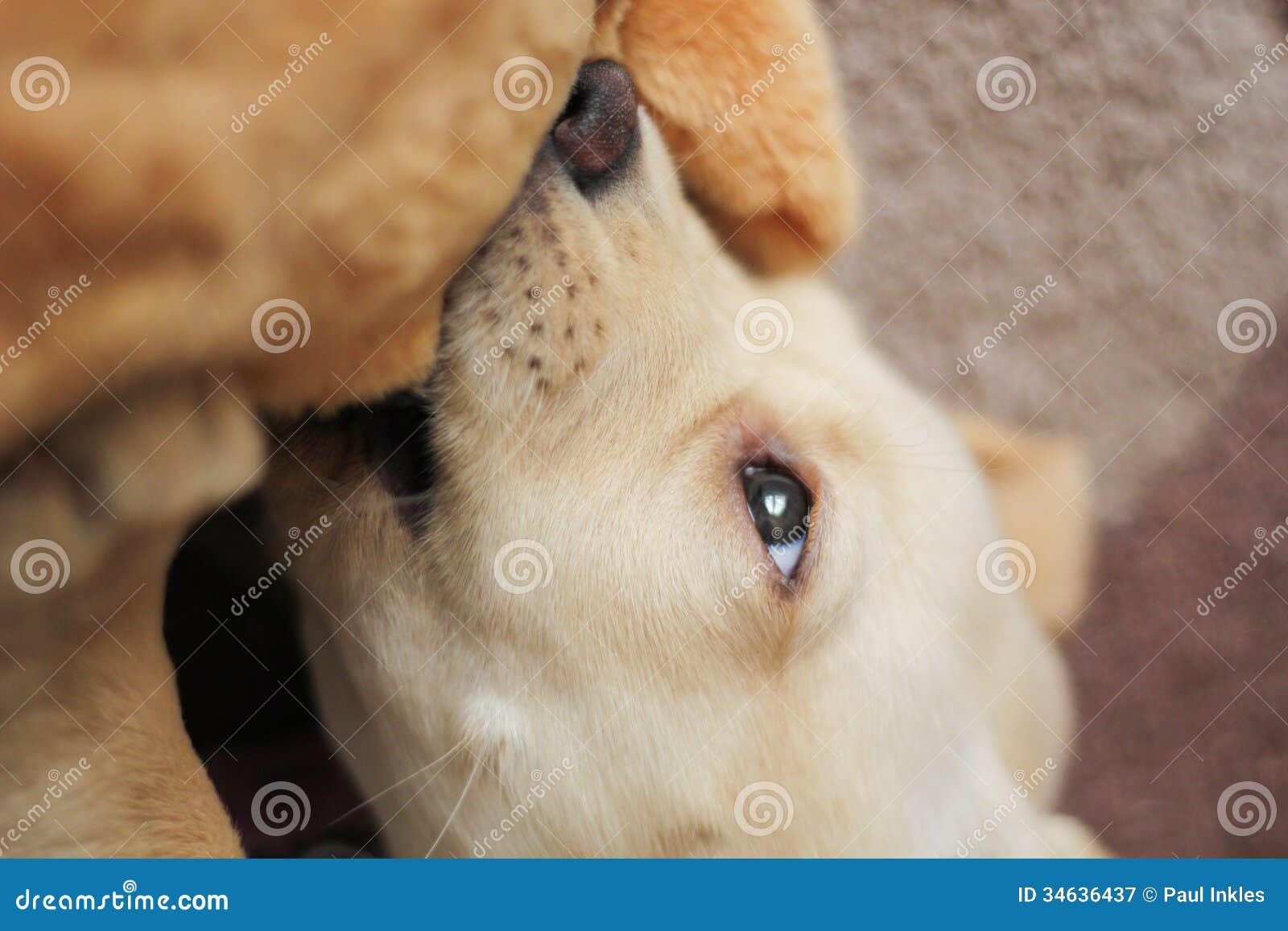 Милый золотой сдерживать щенка labrador