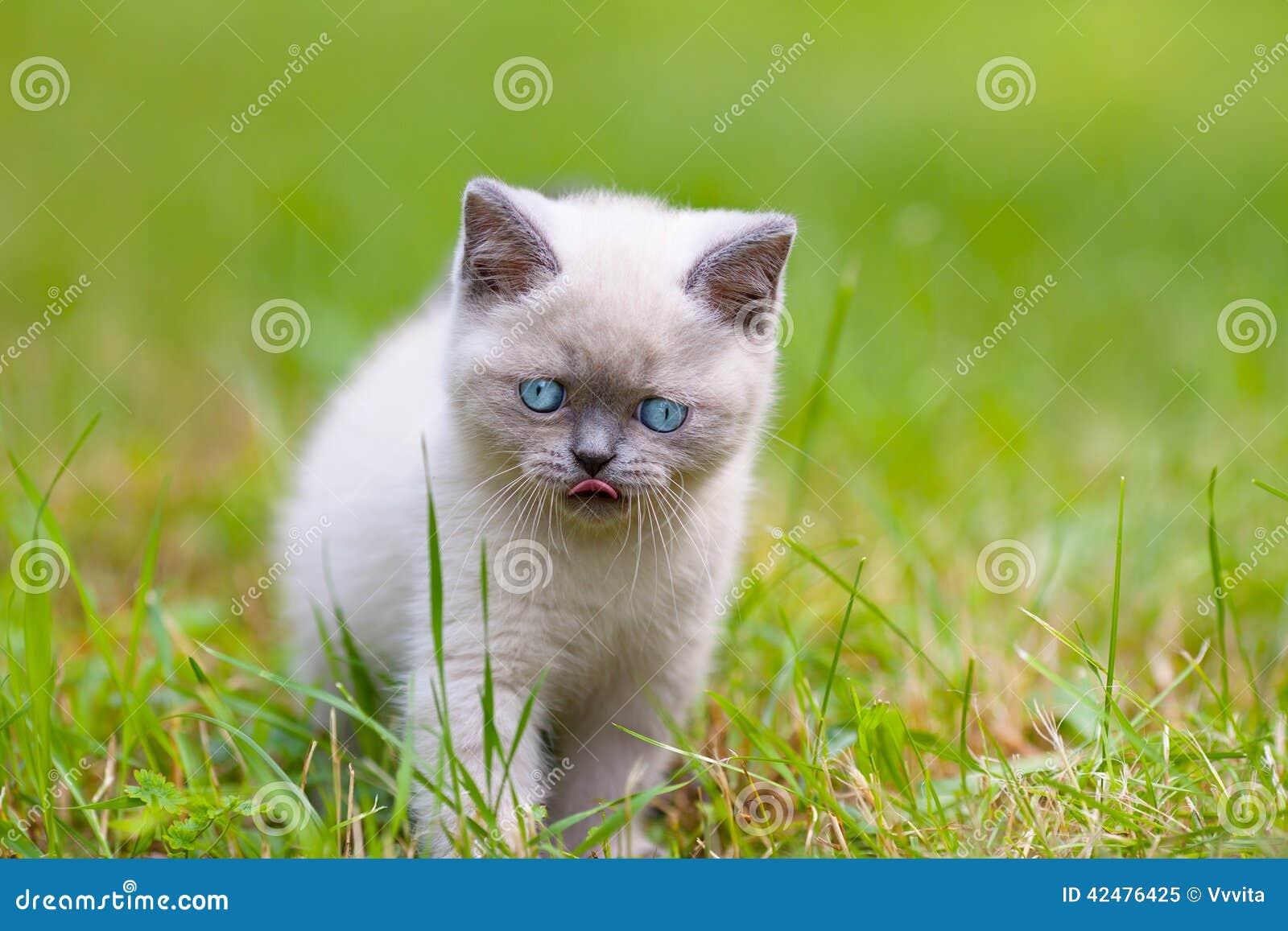 милый котенок сиамский