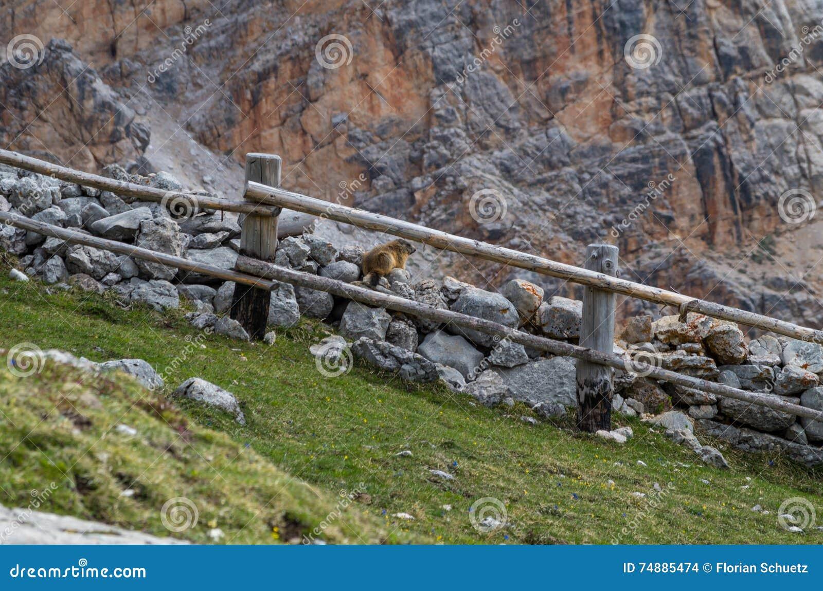 Милый сурок сидя на стене в доломитах, Италии