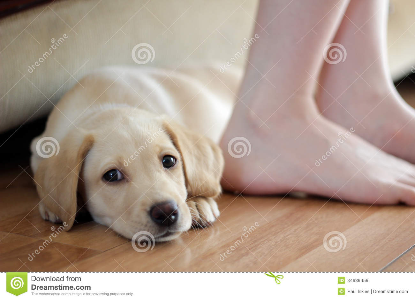 Милый щенок Лабрадора