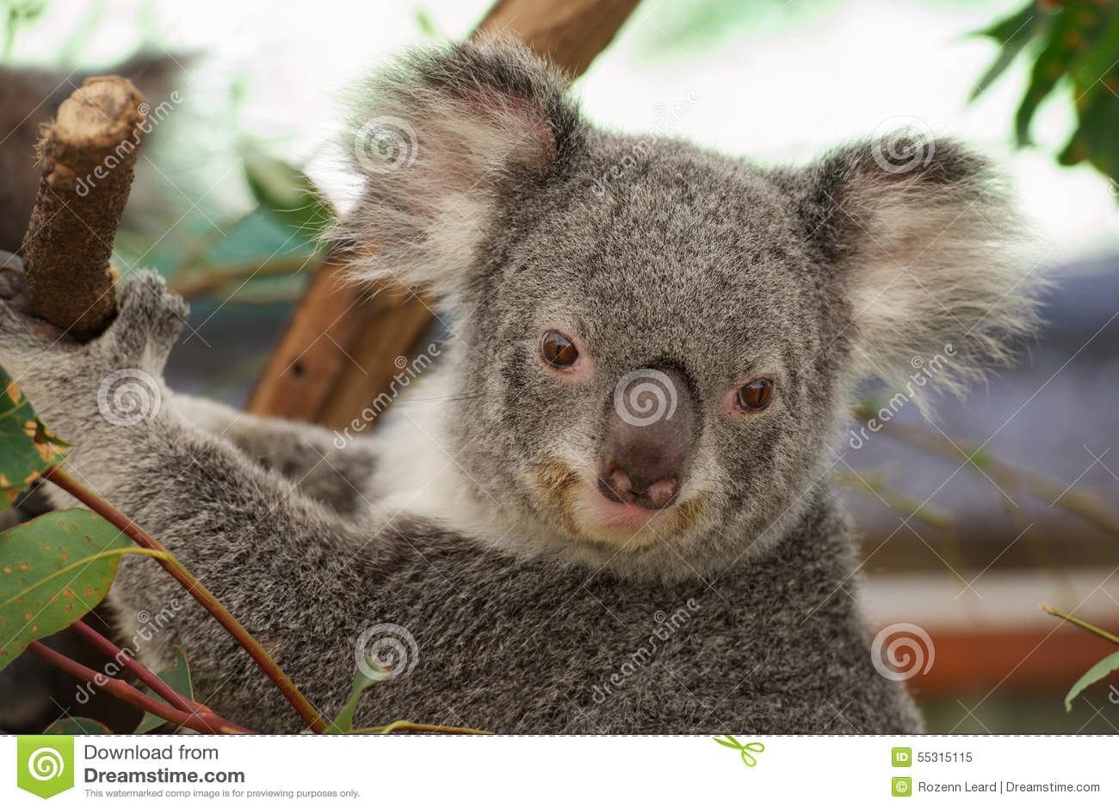 милый koala