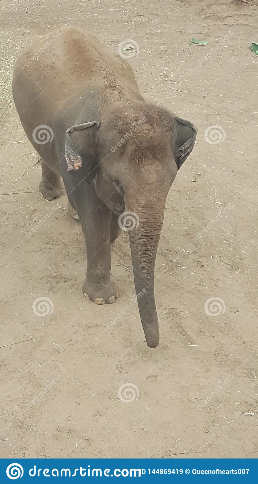 Младенец на зоопарке парка Toronga, Mosman слона, NSW, Австралия