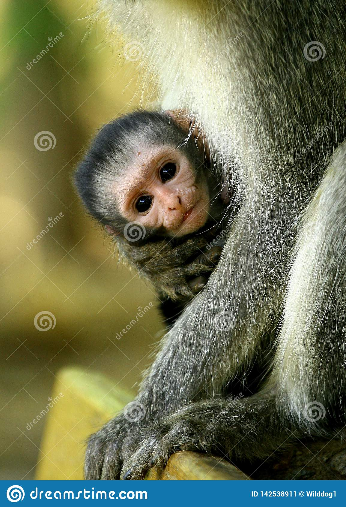 Младенец обезьяны Vervet быть владением в оружиях ее матери в Южной Африке