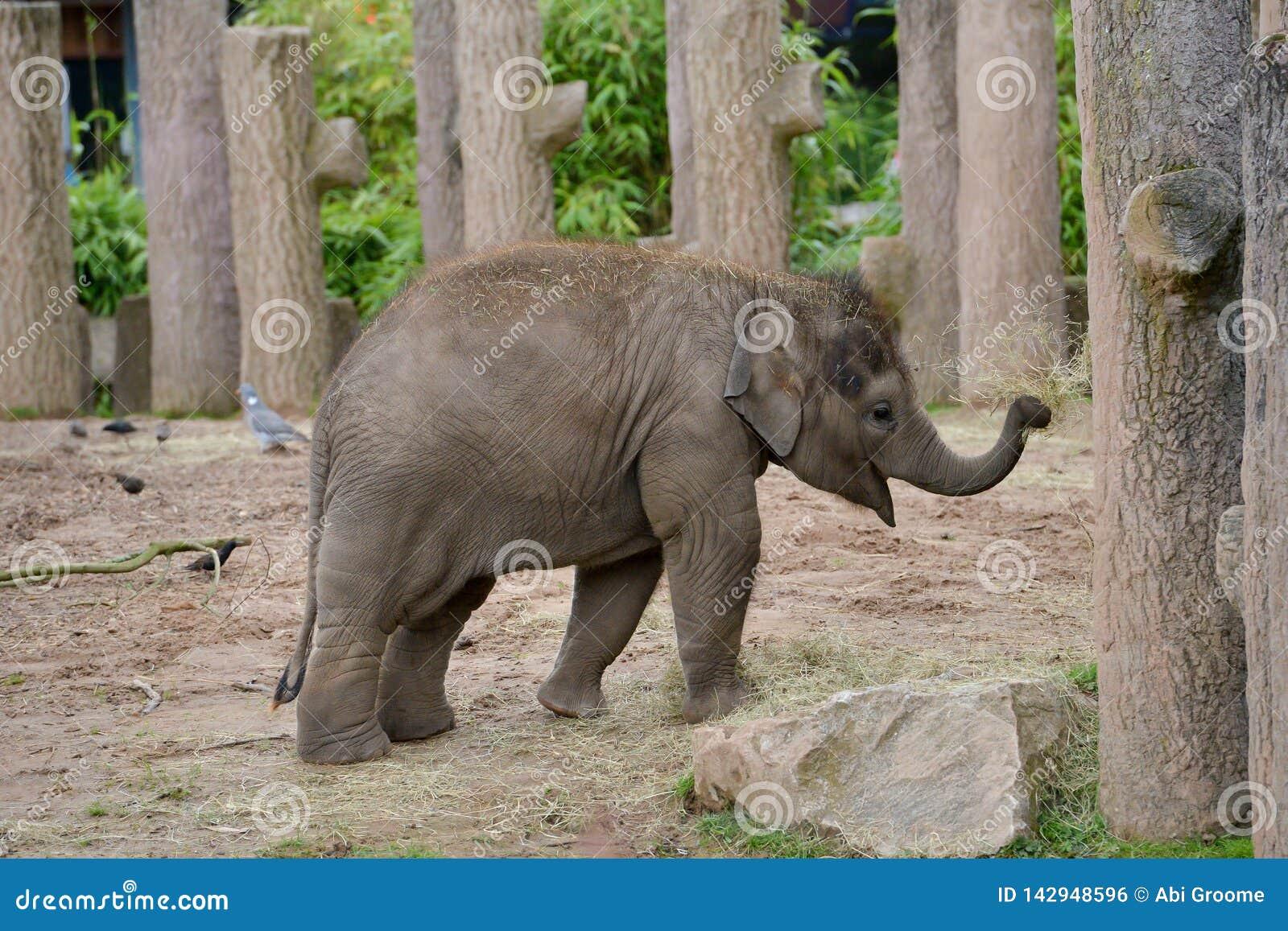 Младенец слона на зоопарке