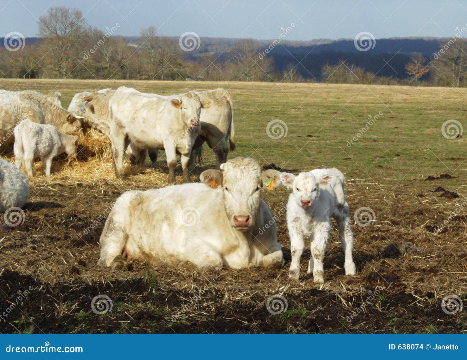 Download младенец cows мать стоковое фото. изображение насчитывающей солнечно - 638074