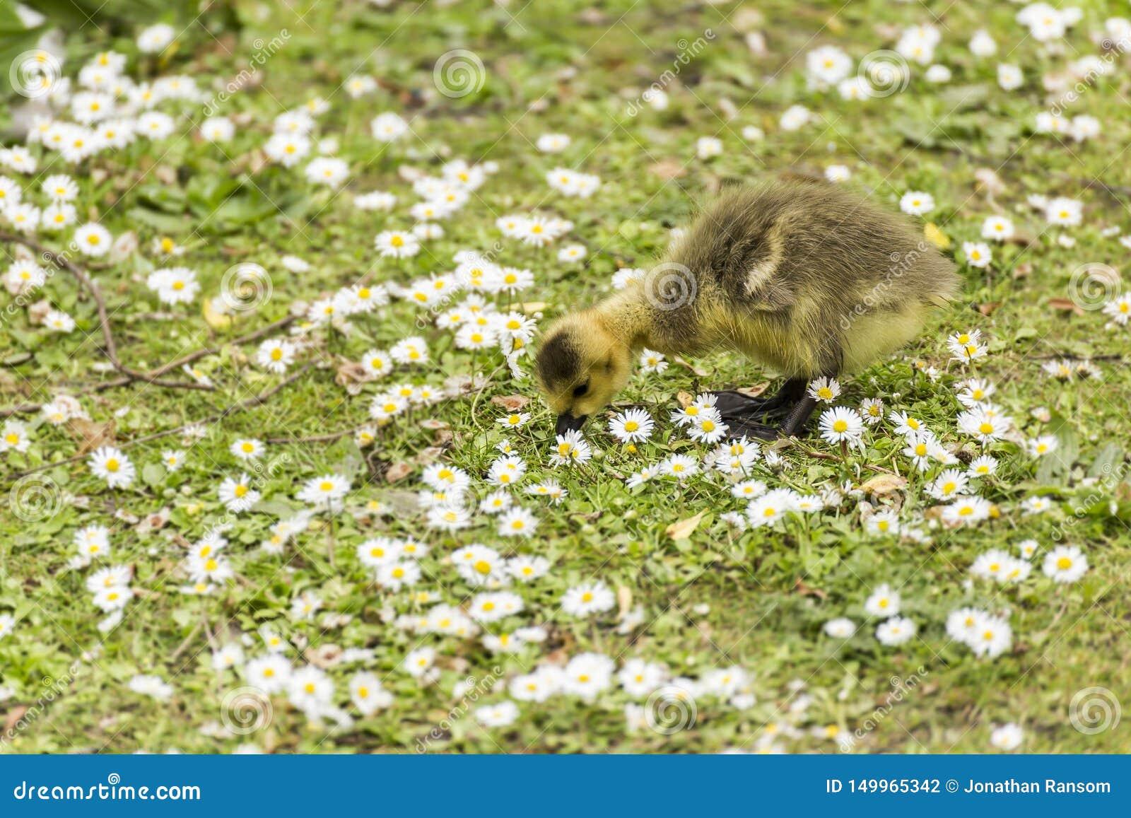 Младенец Gosling клюя для еды на том основании среди моря маргариток