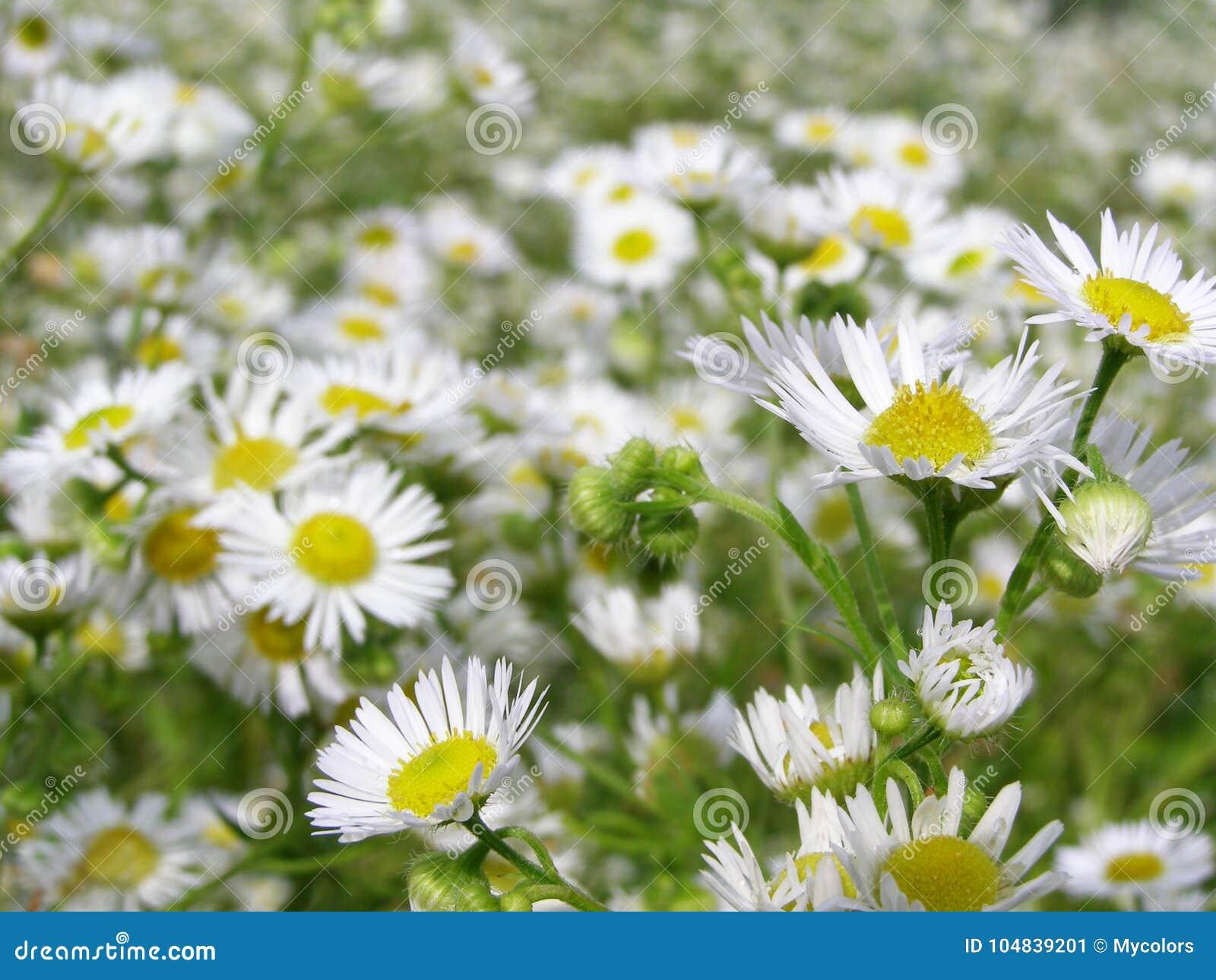 Много белые цветки на луге