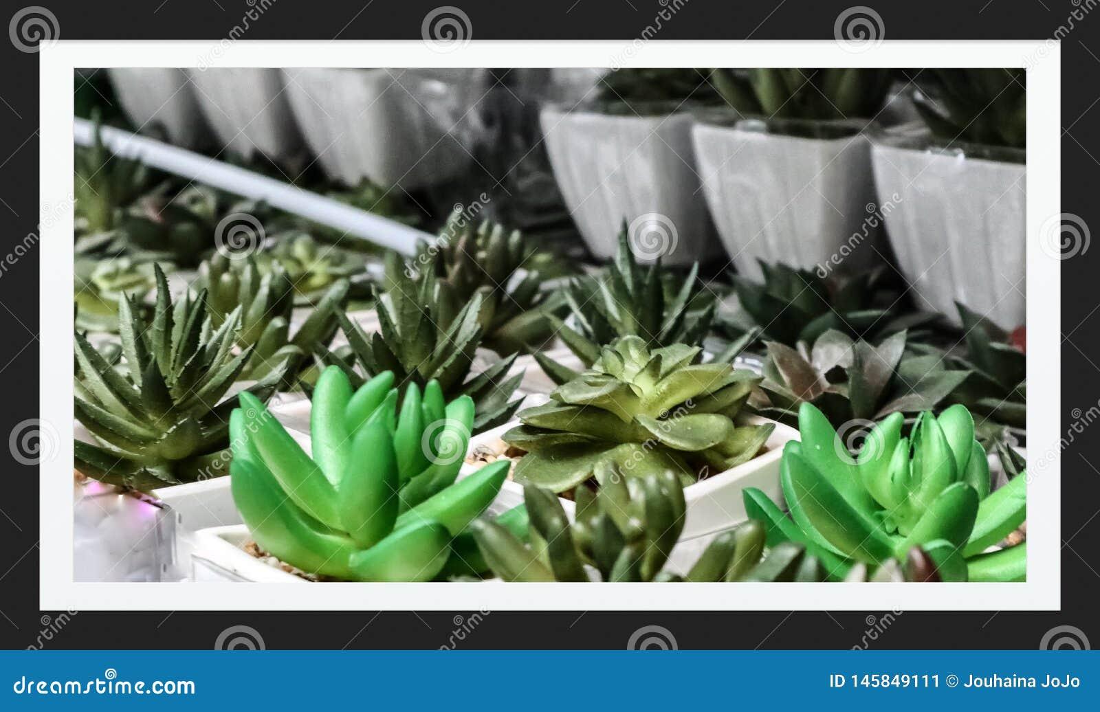 Много кактус младенца в саде