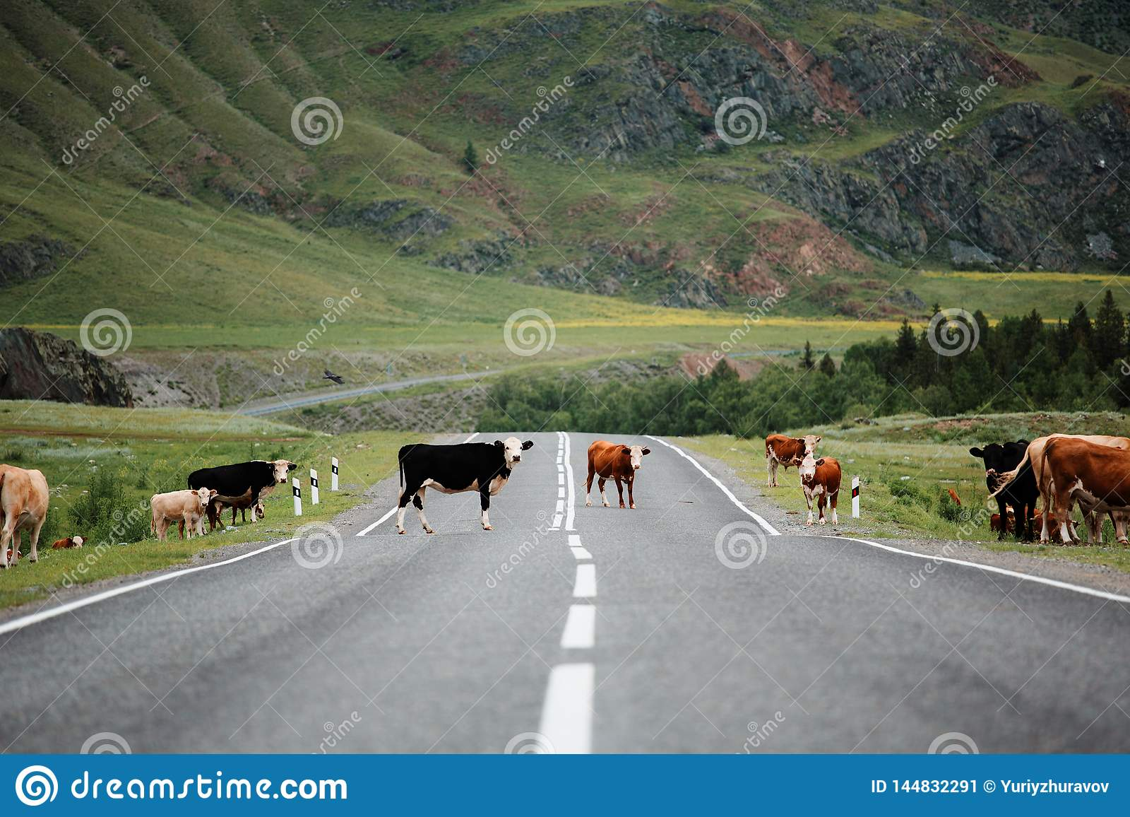 Много коров пересекая сельскую дорогу Горы