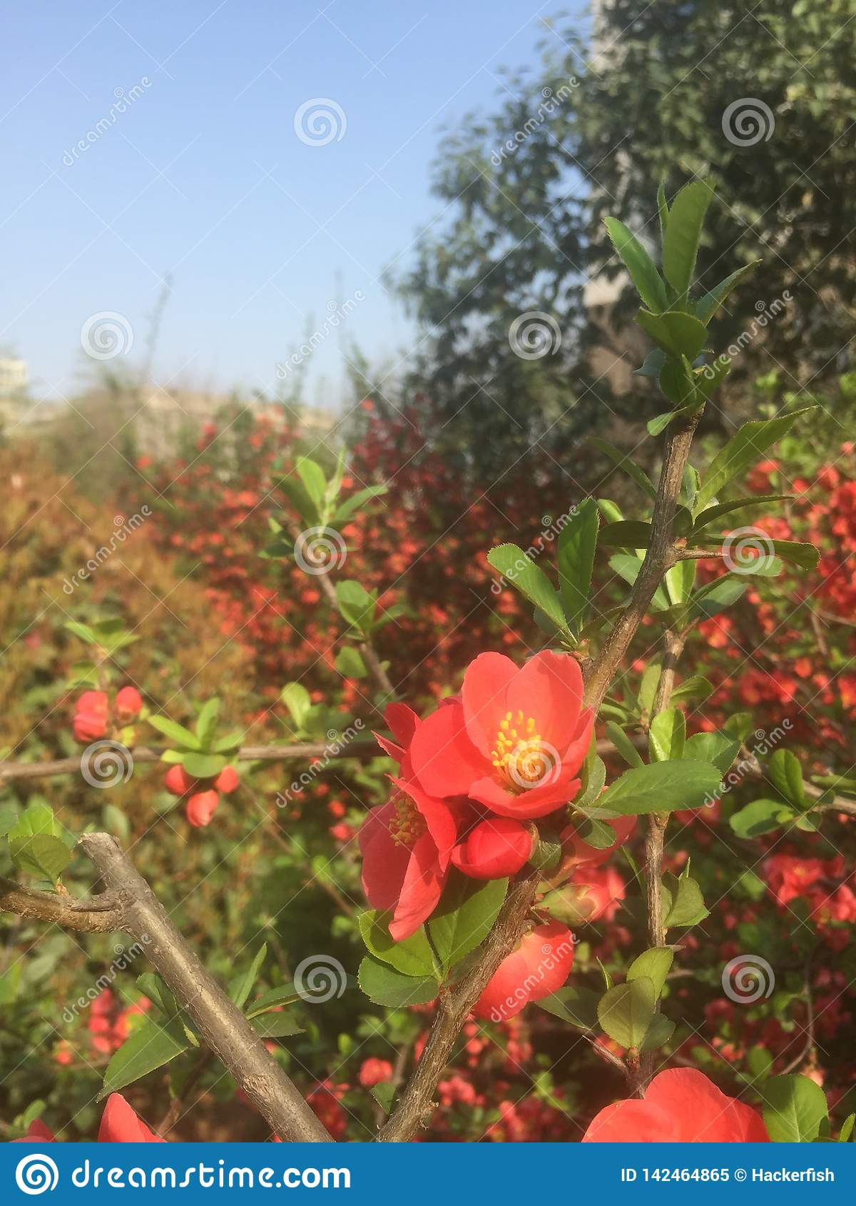 Много красивых красных небольших цветков в предыдущей весне