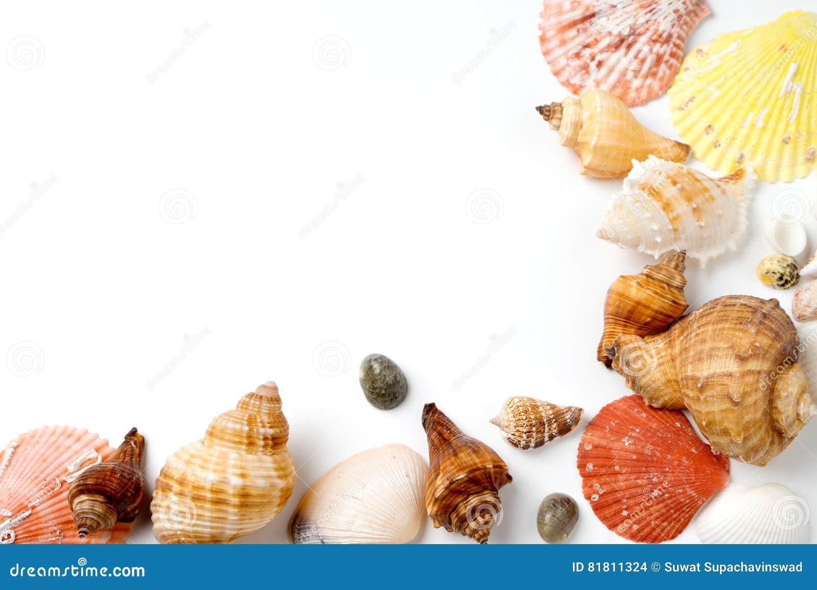 много размер раковины моря на белизне