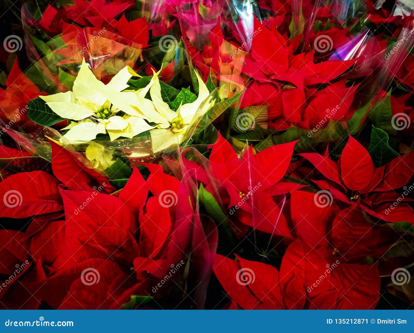 Много цветков poinsettia