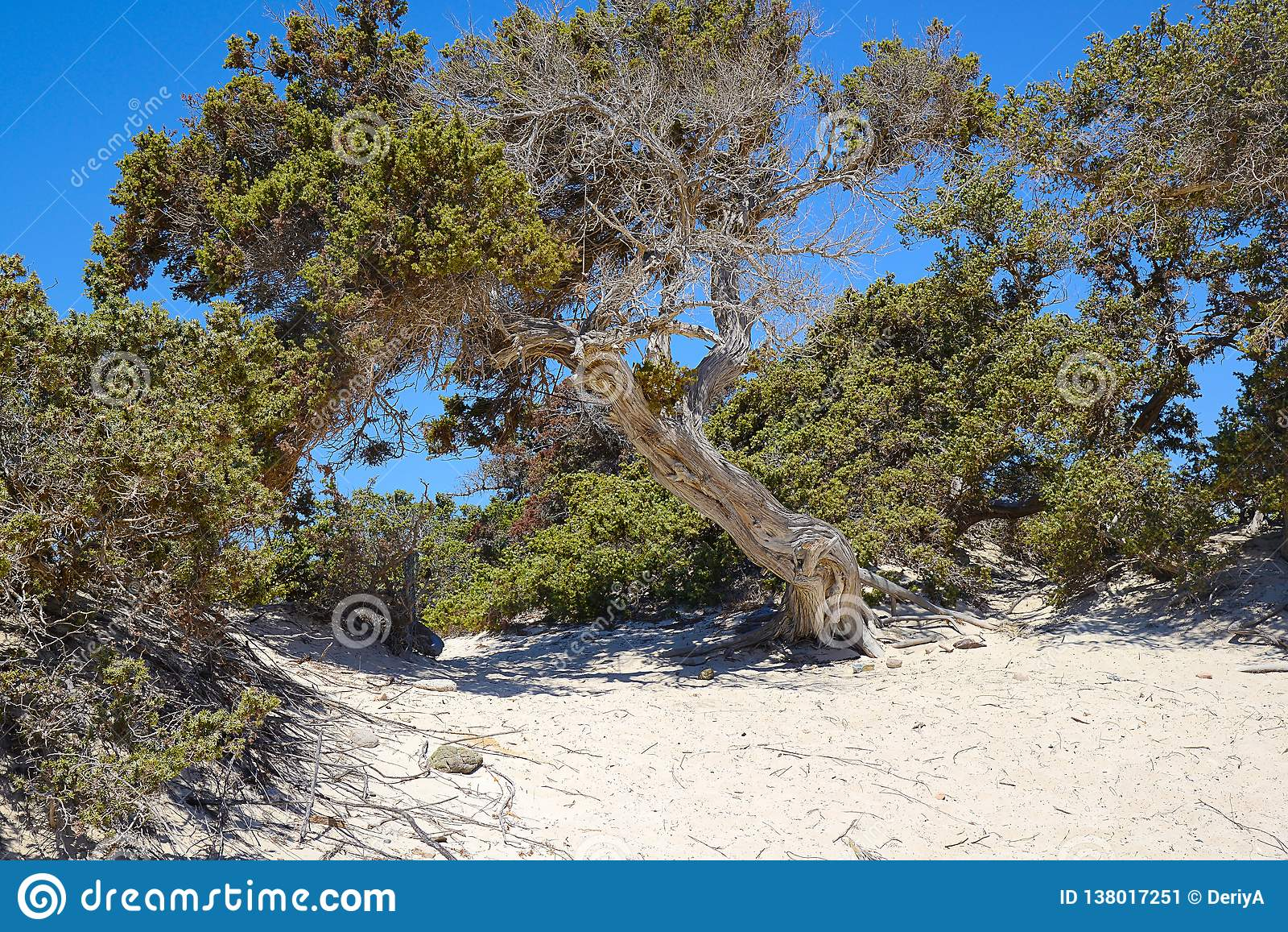 Можжевельник на необитаемом острове Chrissi, охраняемой территории, Греции