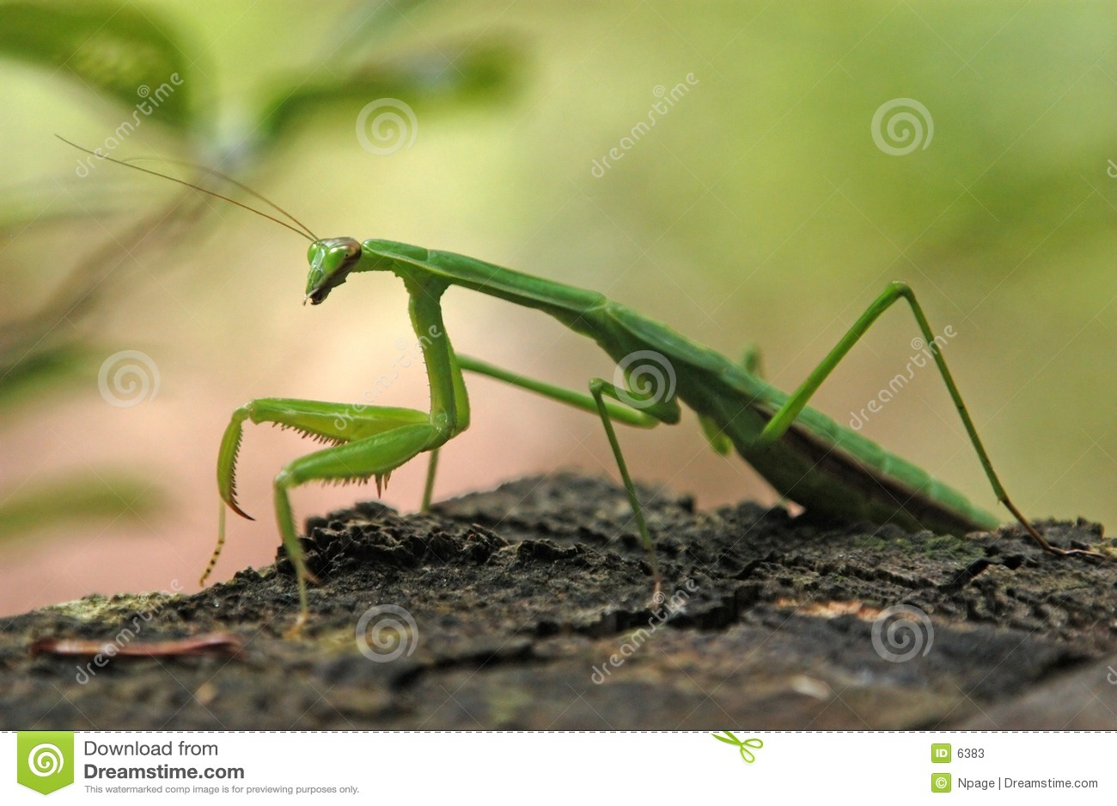 молить mantis
