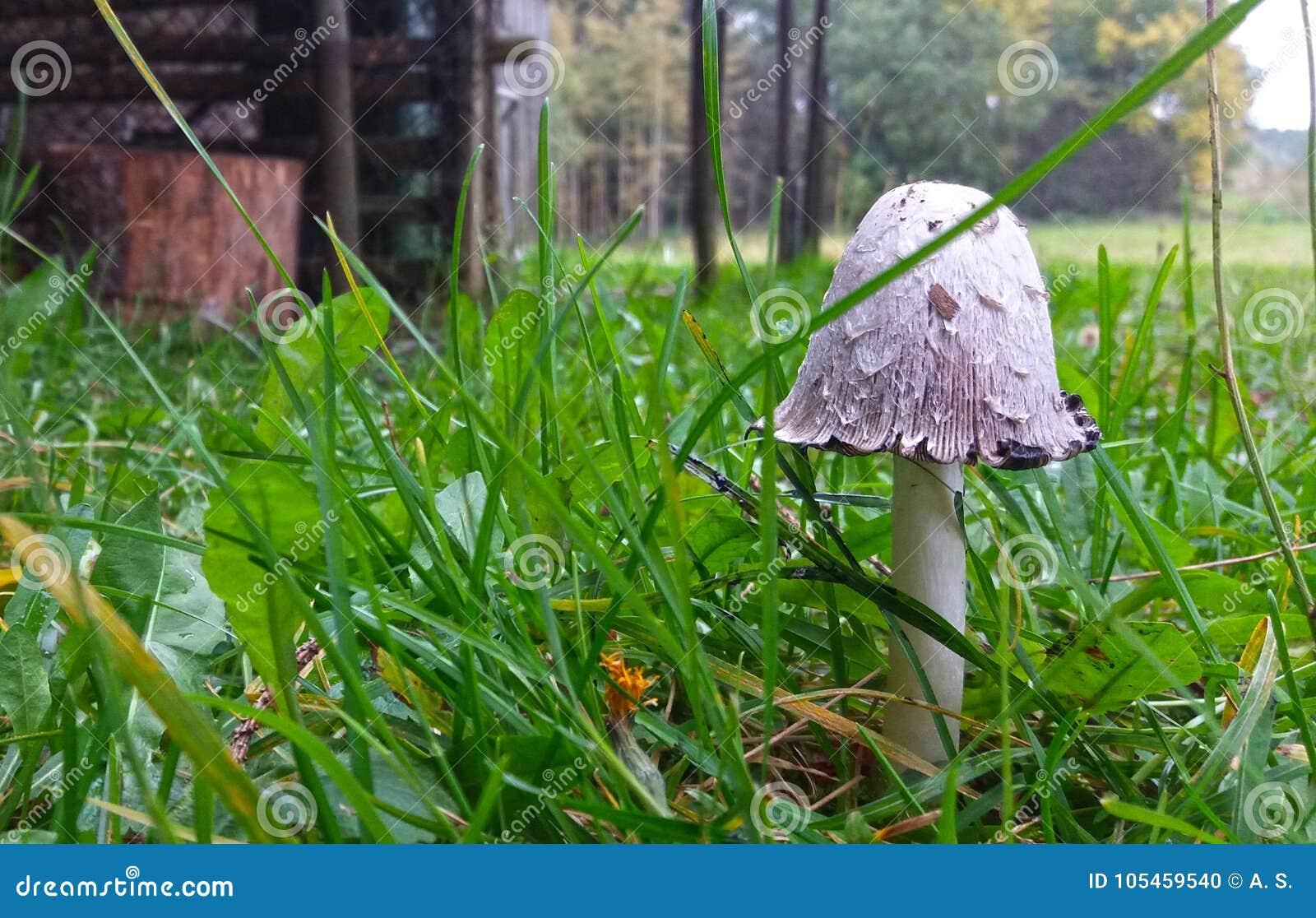 Молодое Shaggy comatus чернильного гриба крышки чернил Съестно когда детеныши