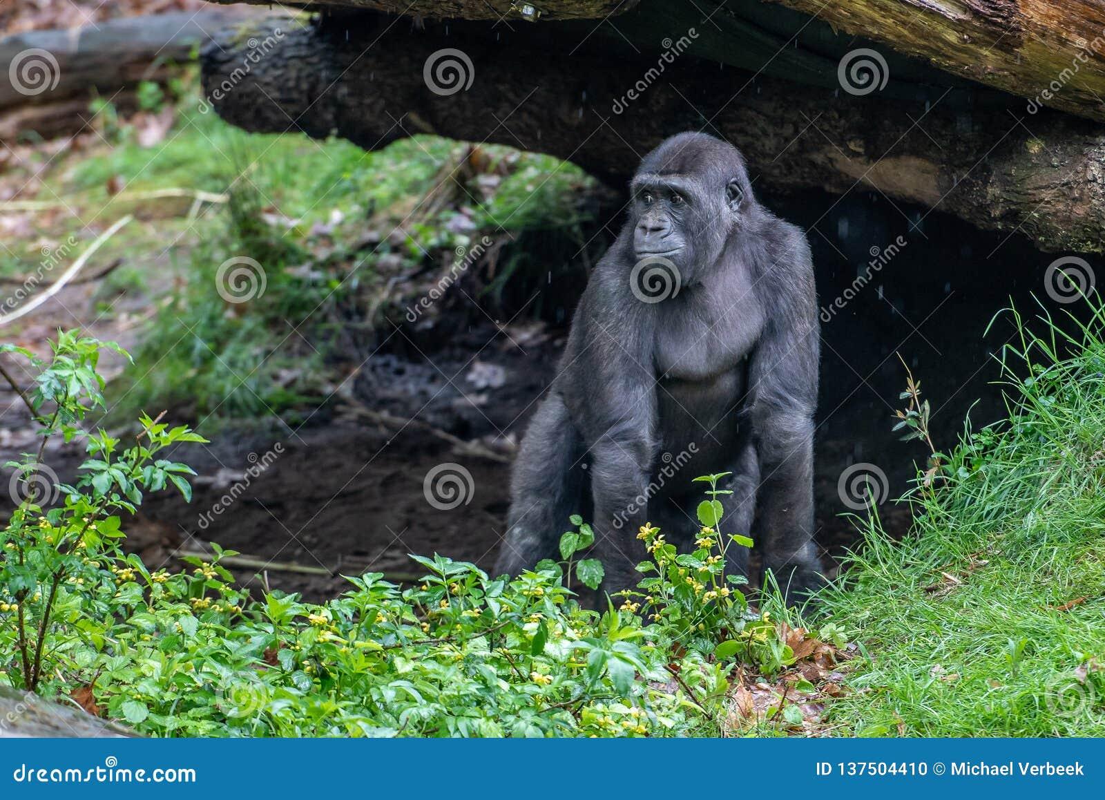 Молодой взгляд гориллы где его мать