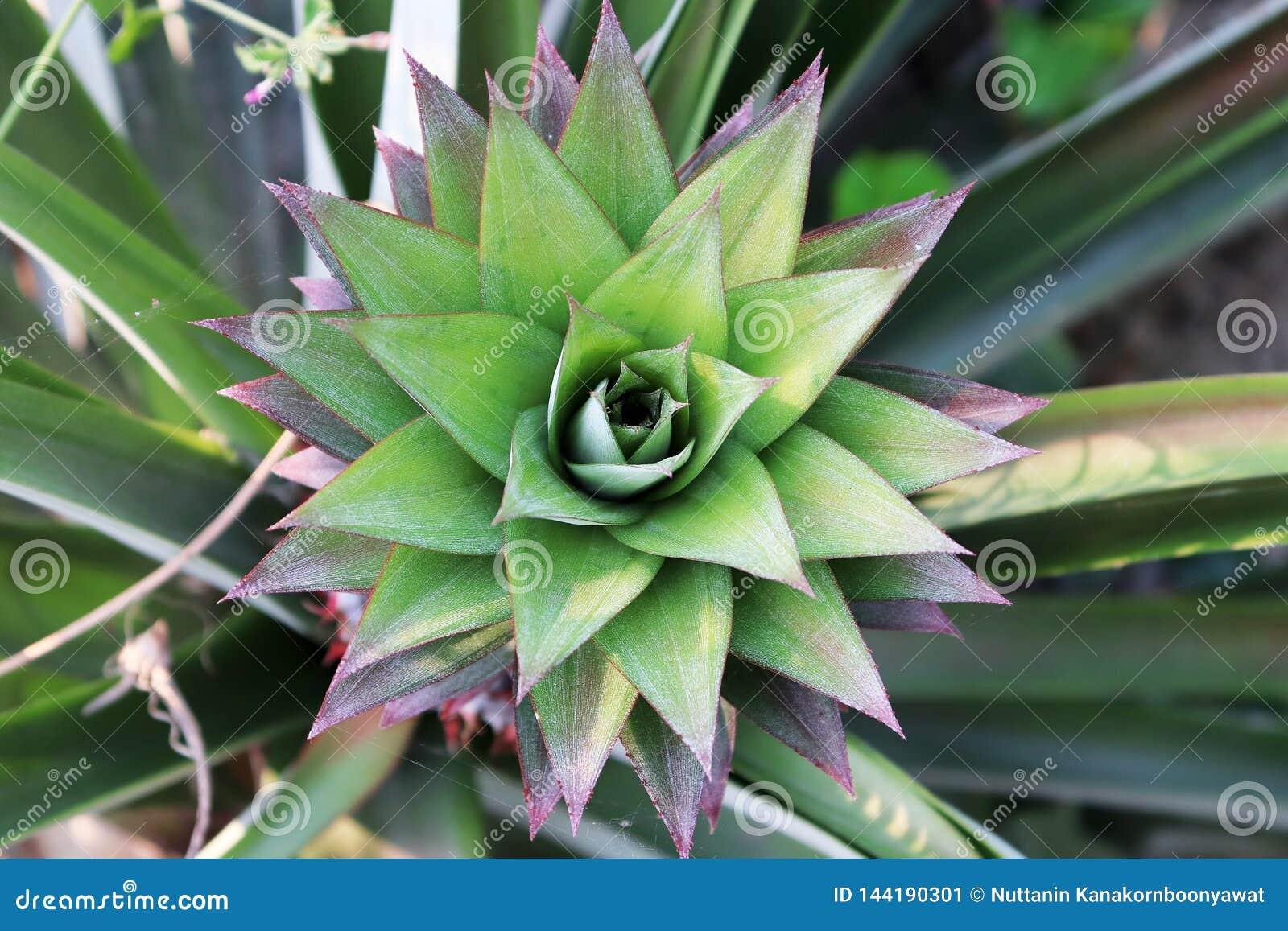 Молодой всход ананаса на кусте в красных и зеленых листьях, ананасе растя на кусте сад плодоовощ тропический Ананас внутри
