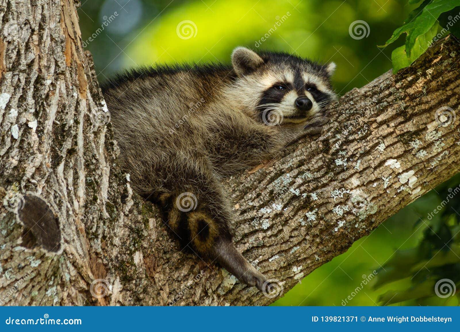 Молодой енот отдыхая в ветви дерева