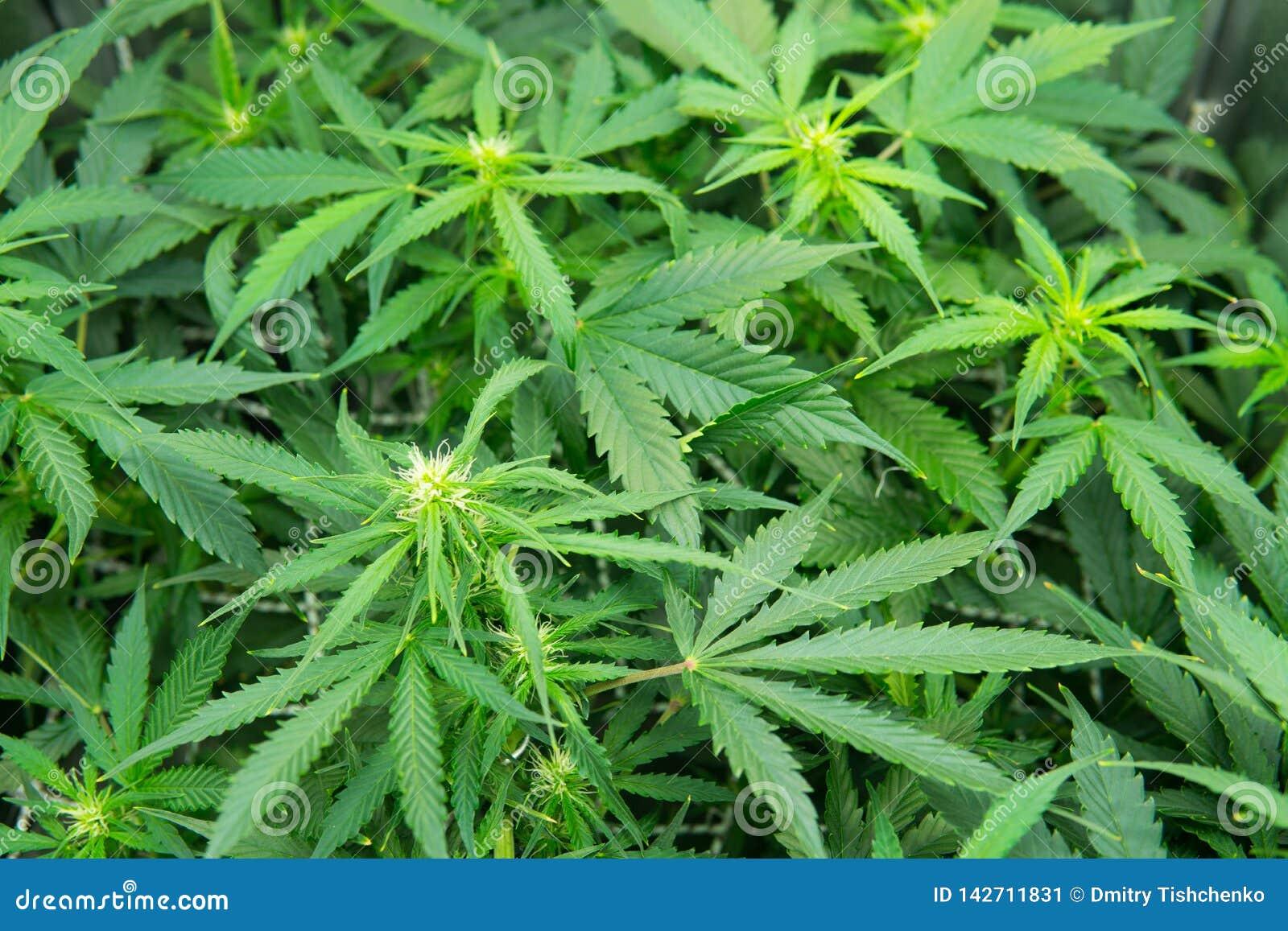 Выращивание марихуаны скачать собрать пыльцу марихуаны