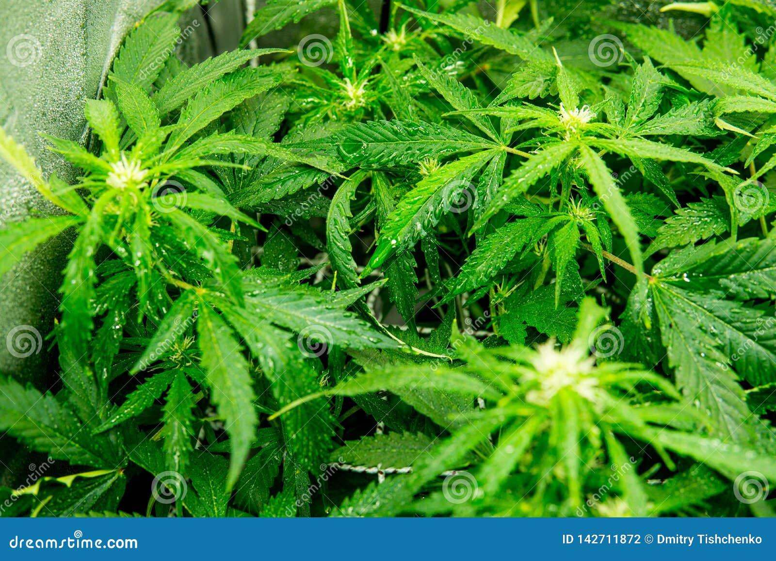 Выращивание марихуаны конопли скачать как растет конопля дома