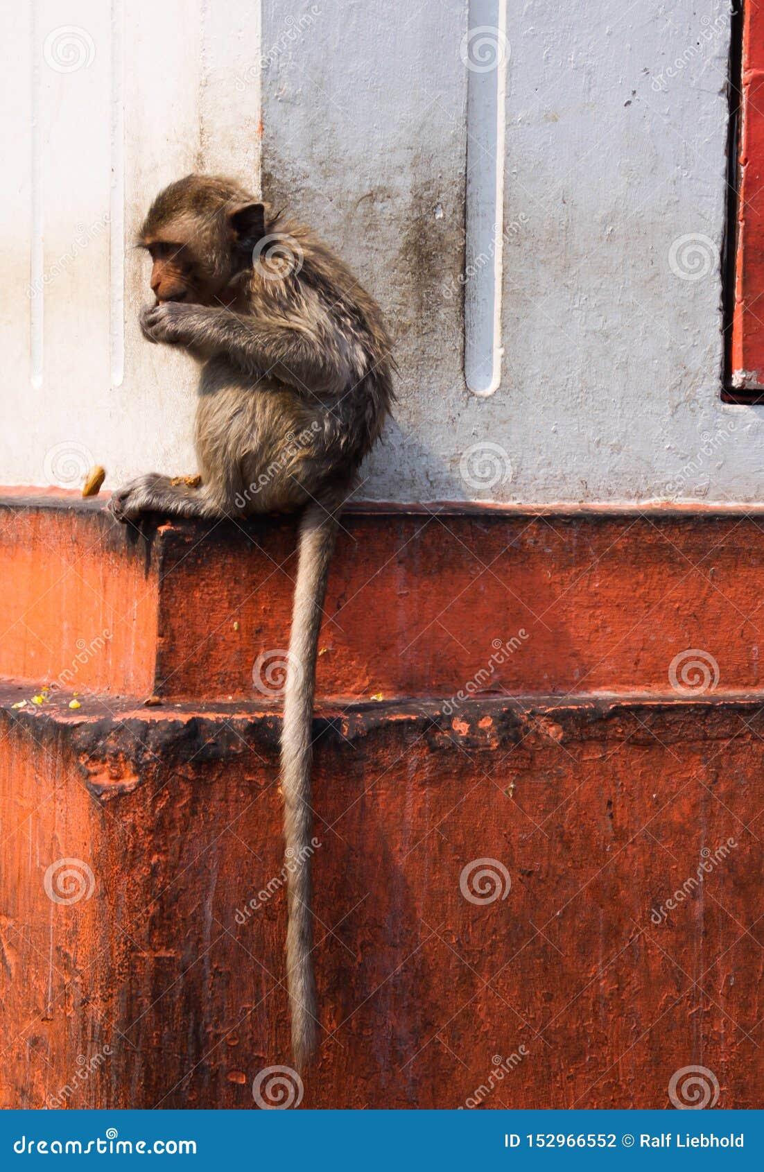 Молодой изолированный краб обезьяны есть макаку, fascicularis Macaca с длинным хвостом сидя на выступе стены дома в Lopburi,