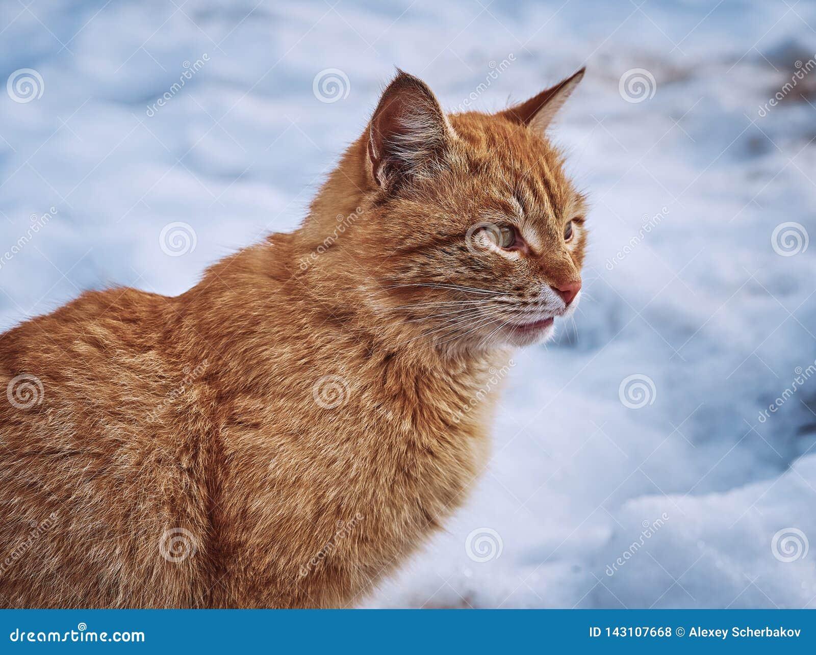 Молодой красный конец-вверх кота на предпосылке снежного ландшафта