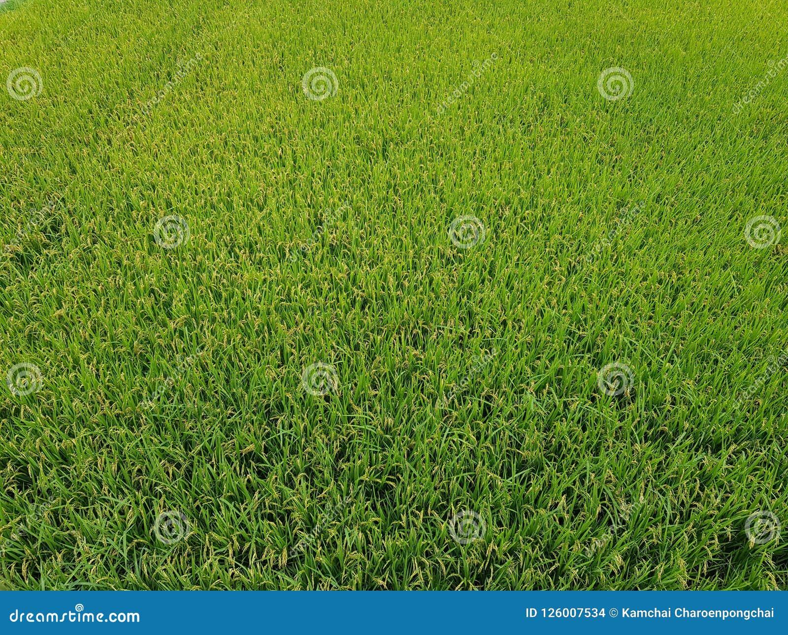 Молодой рис растя в зеленых полях рисовых полей