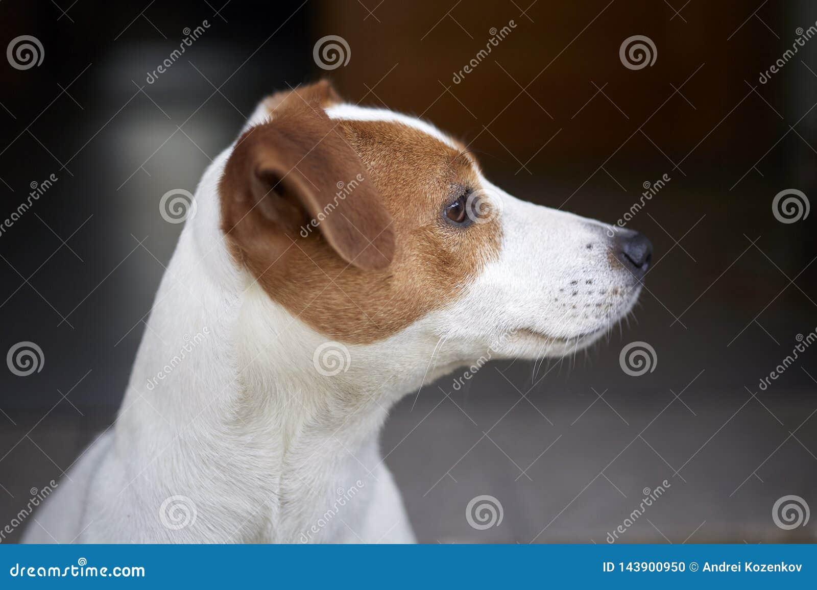 Молодой терьер Джек Рассела породы собаки племенника