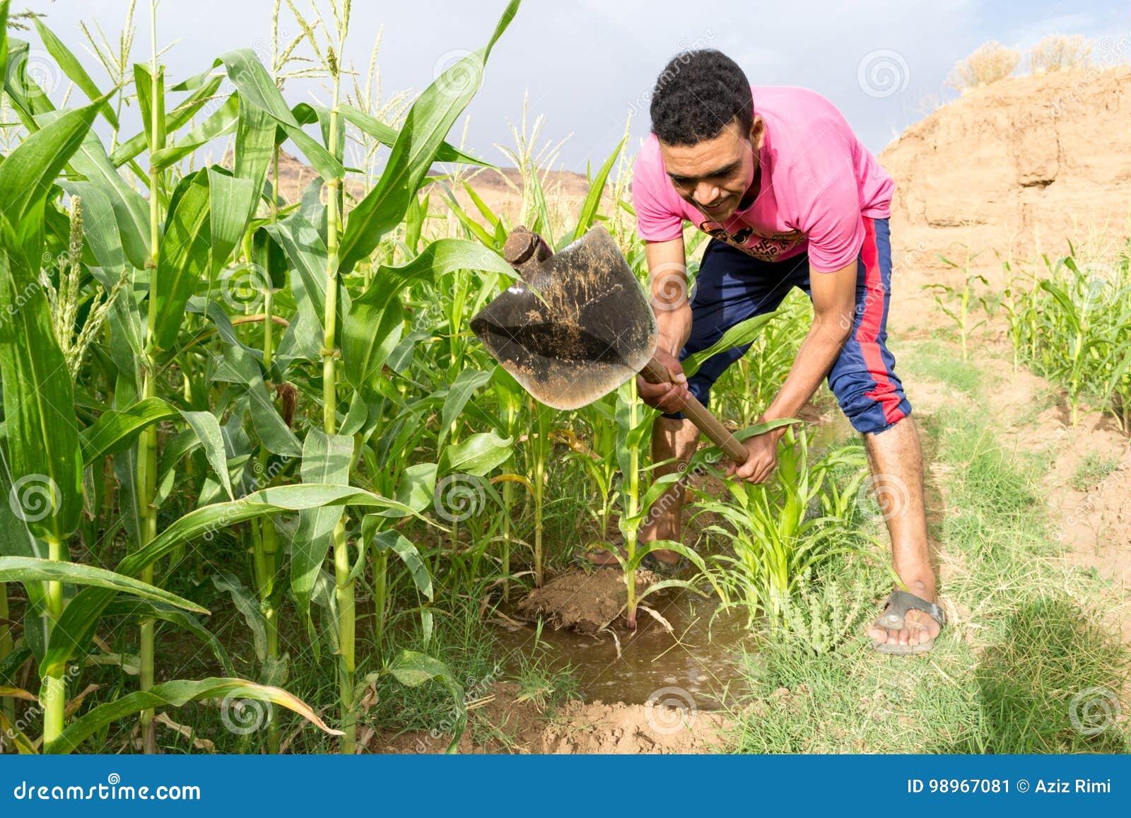 Молодой человек орошая кукурузное поле маиса