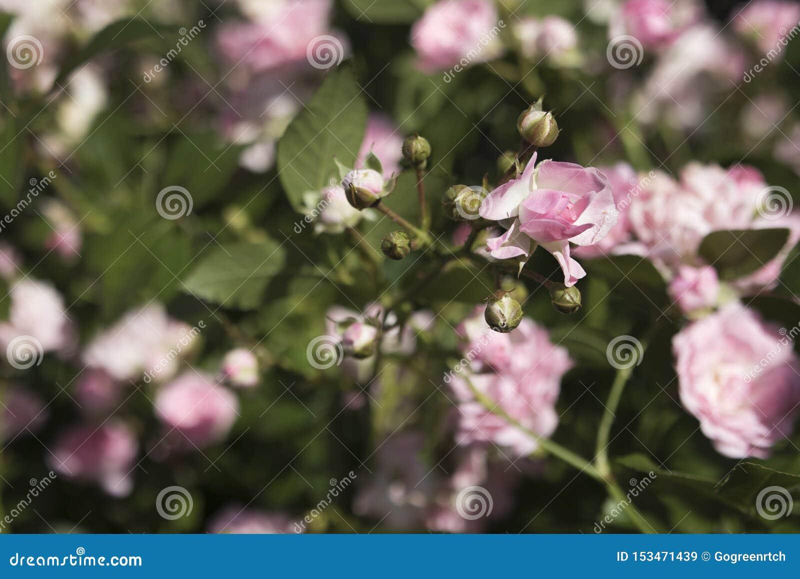 Молодые всходы розы пинка карлика в саде летом с запачканной предпосылкой