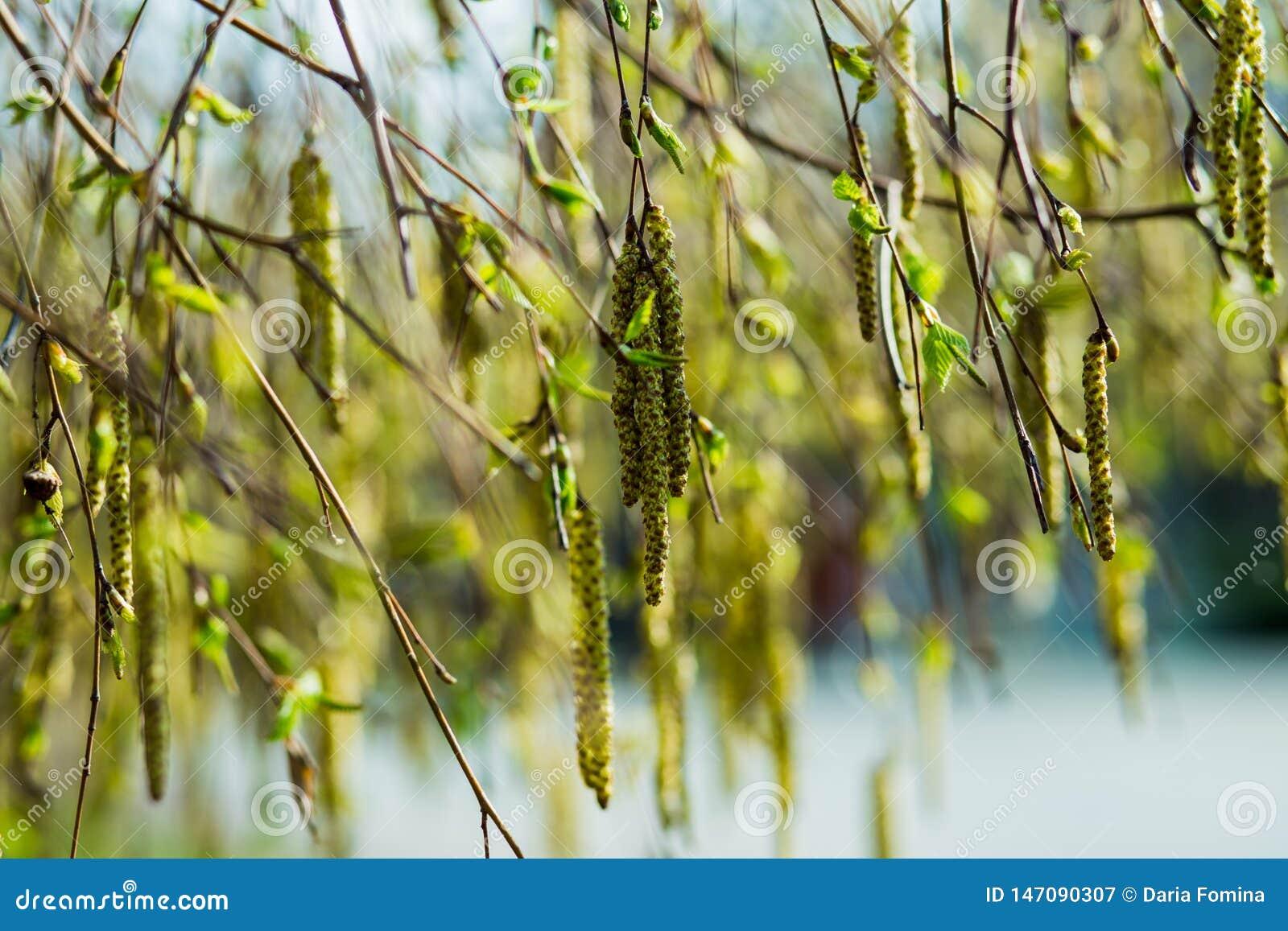 Молодые зацветая длинные catkins на ветвях дерева ольшаника в предыдущей весне