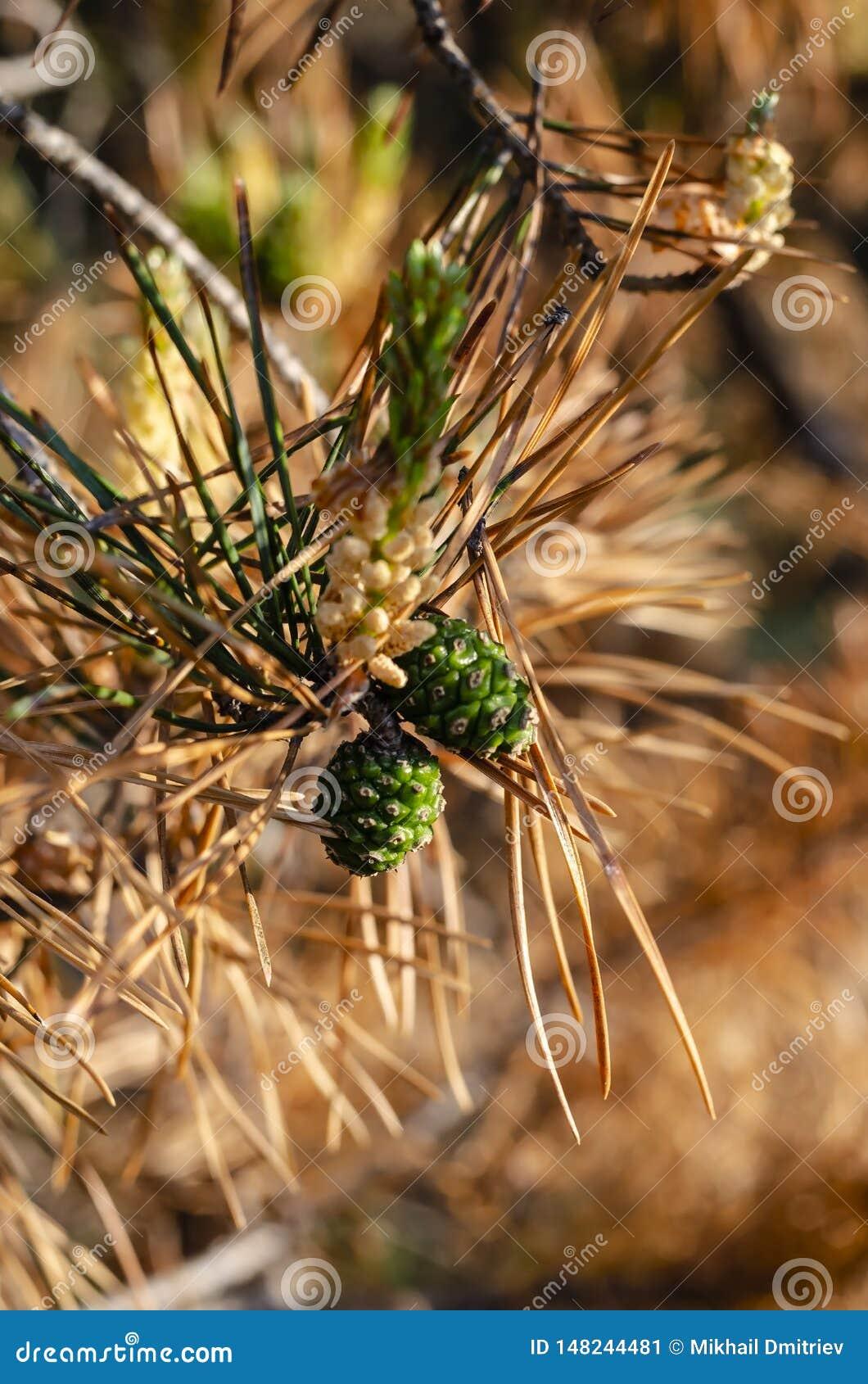 Молодые зеленые рему на коричневой ветви