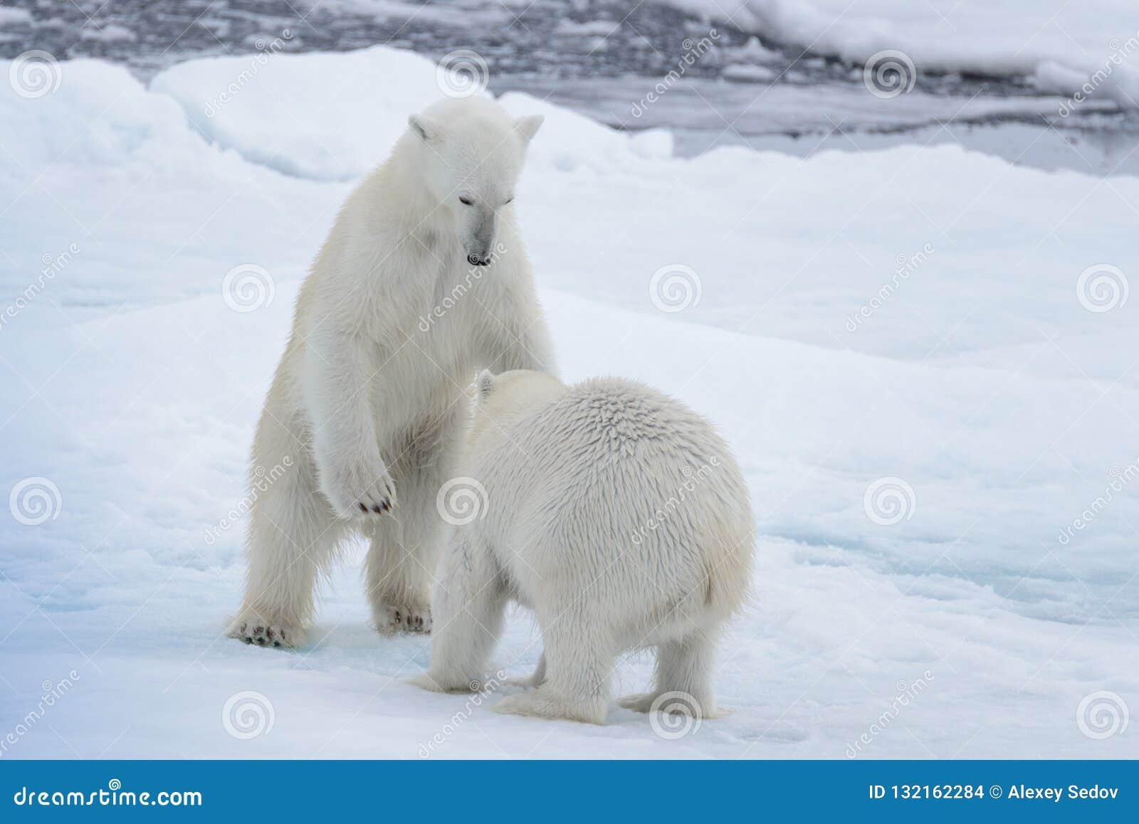 2 молодых диких полярного медведя играя на паковом льде