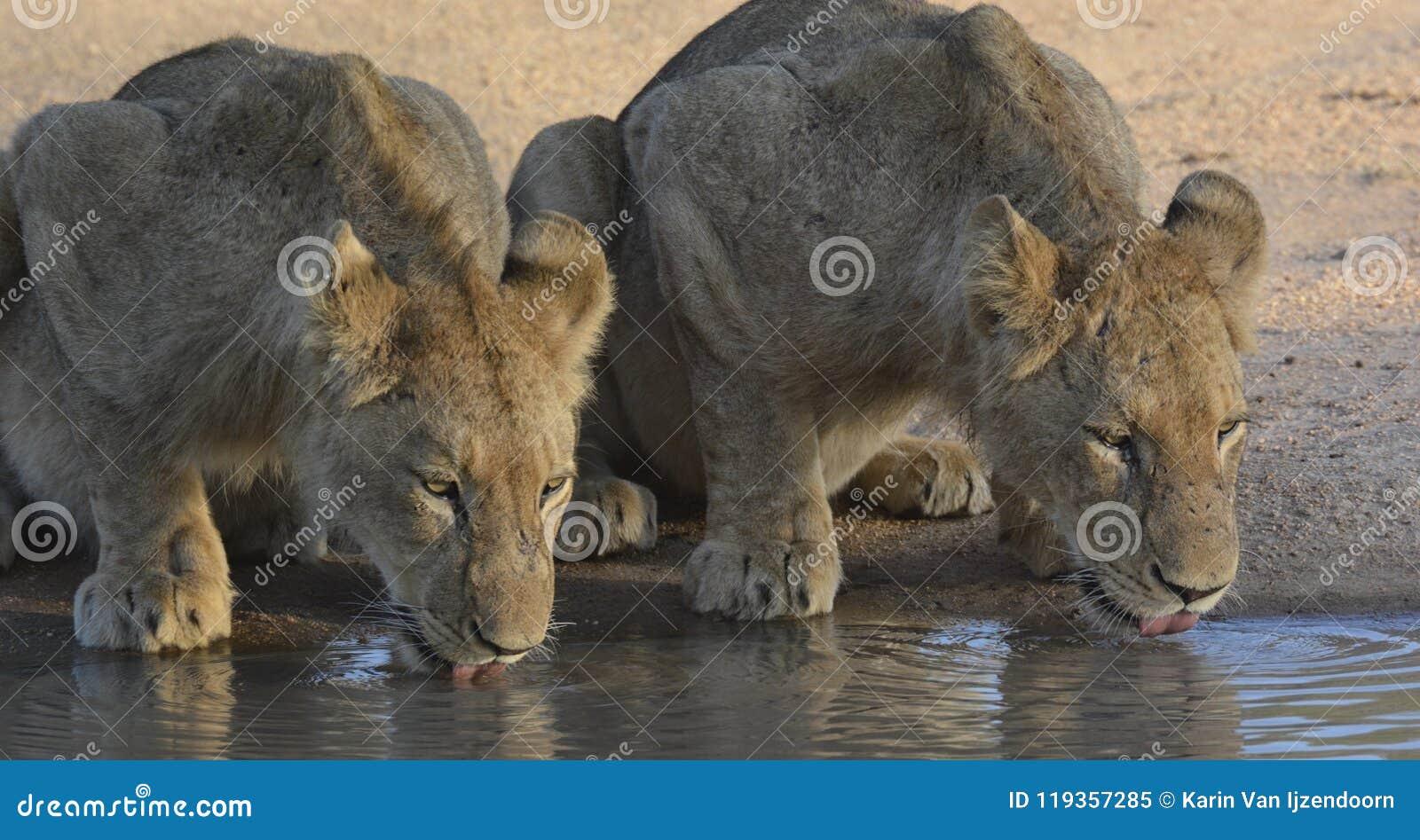 2 молодых льва выпивая на waterhole