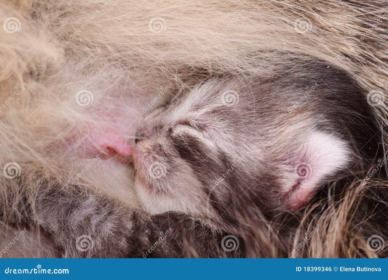 молоко котенка newborn всасывает