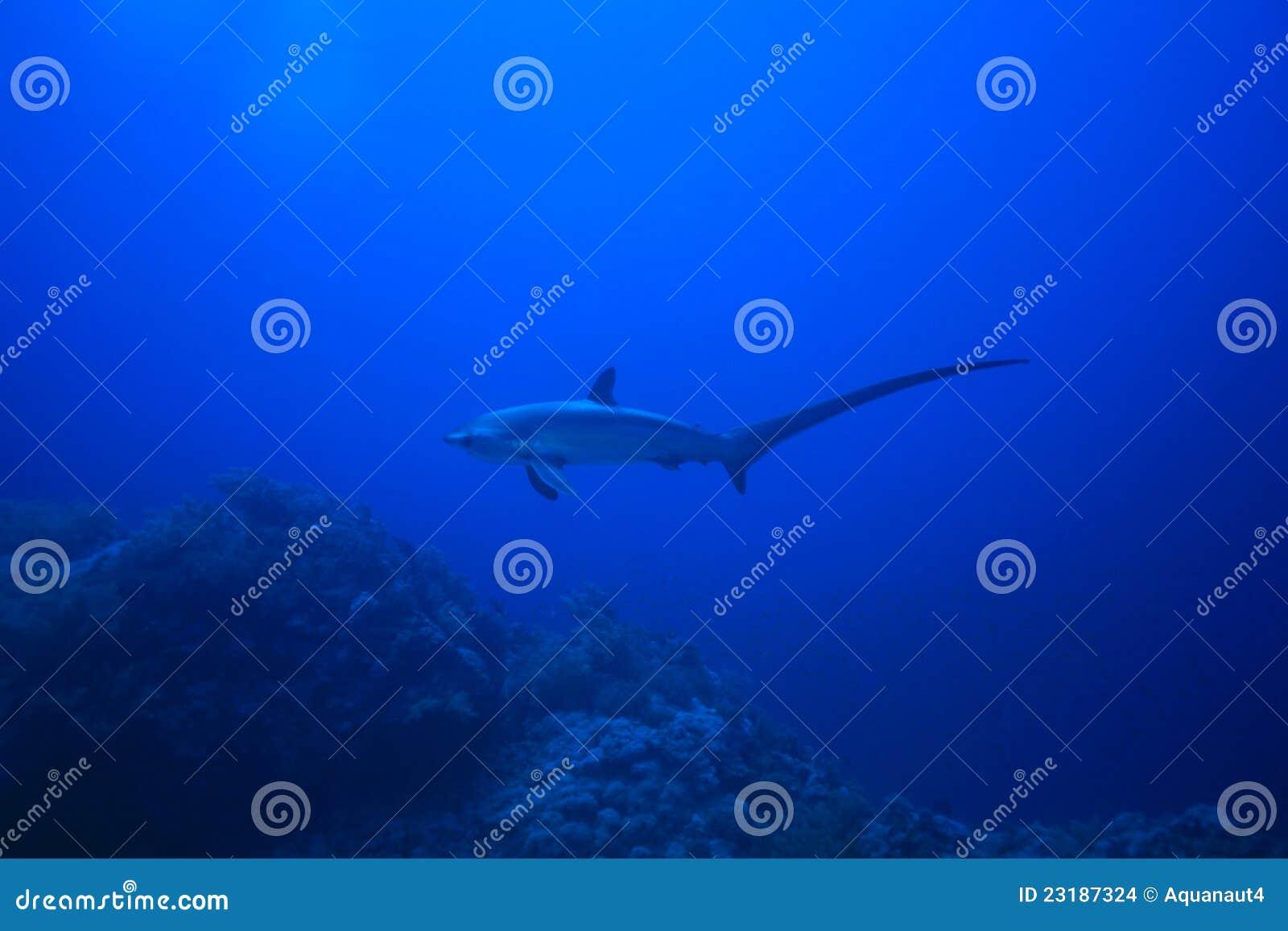 молотильщик акулы