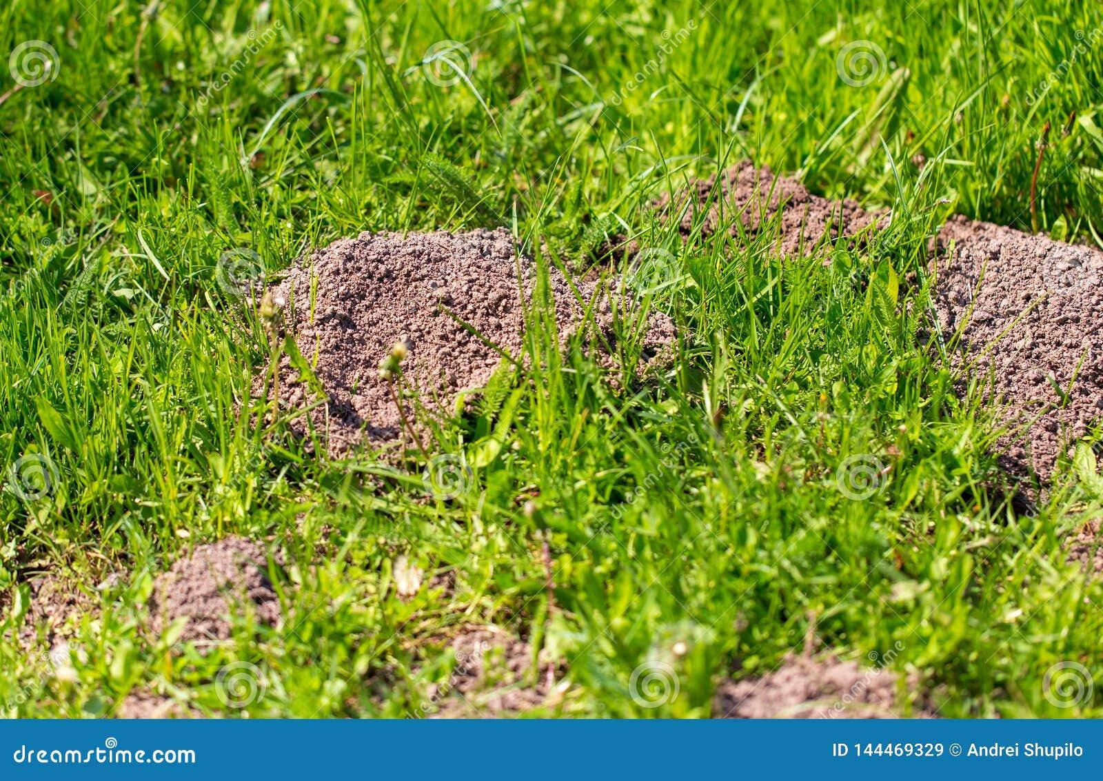 Моль выкопанная в земле весной