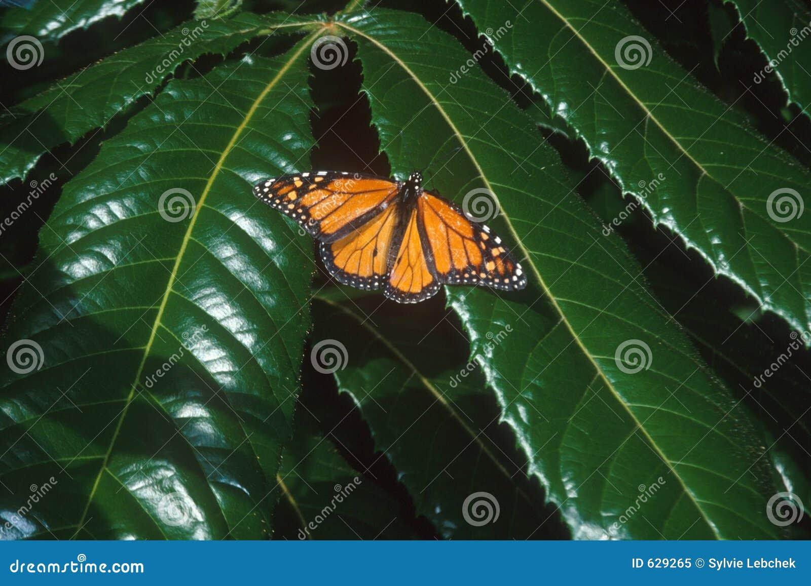 Download монарх бабочки стоковое изображение. изображение насчитывающей цветы - 629265