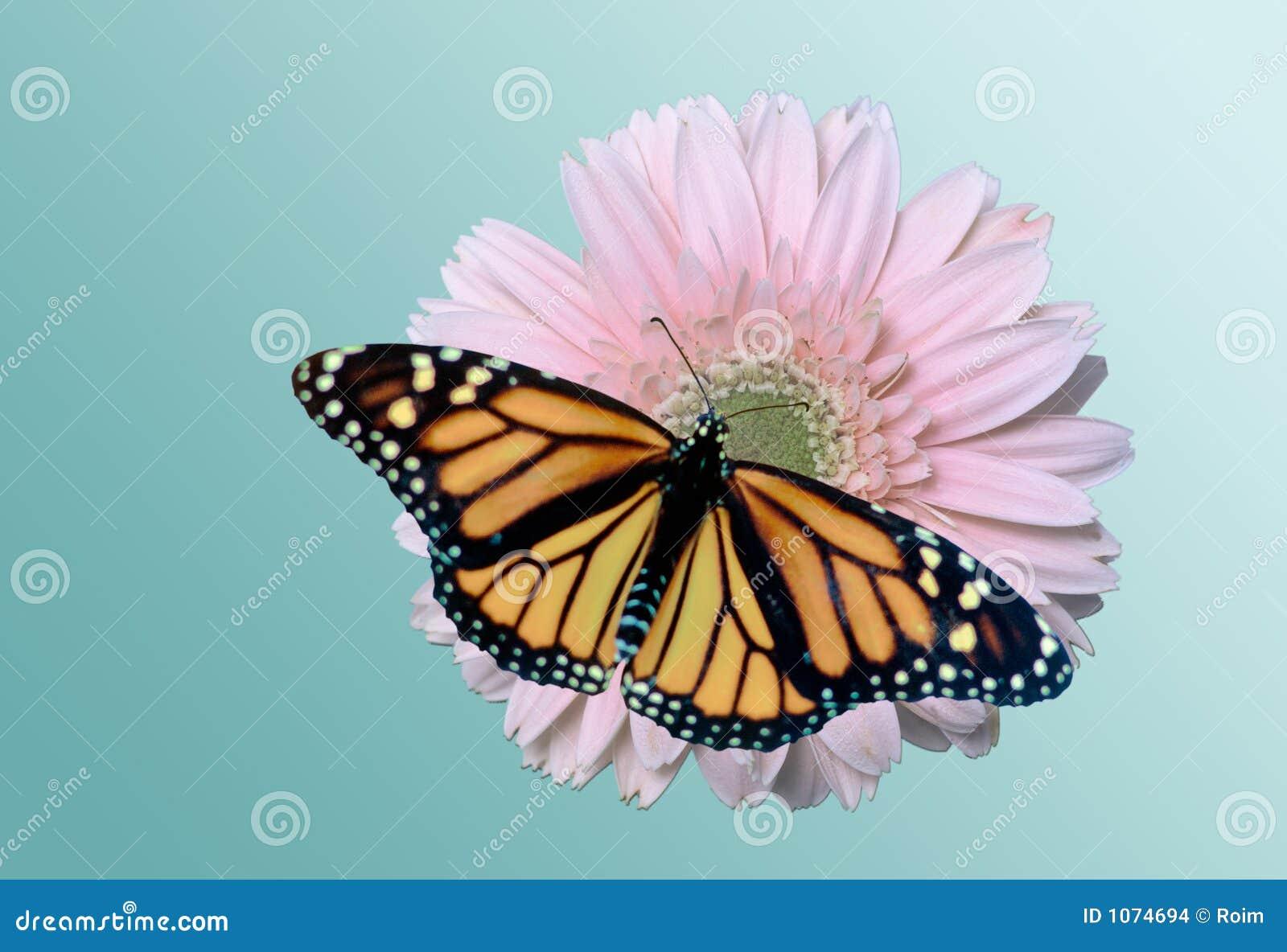 монарх маргаритки