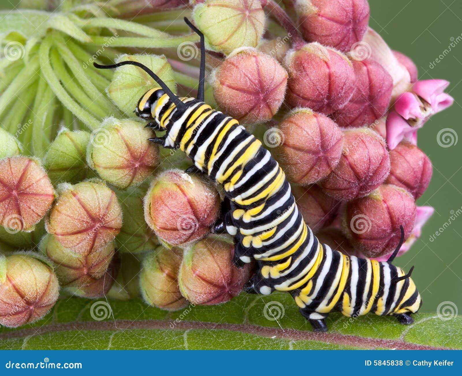 монарх milkweed гусеницы b