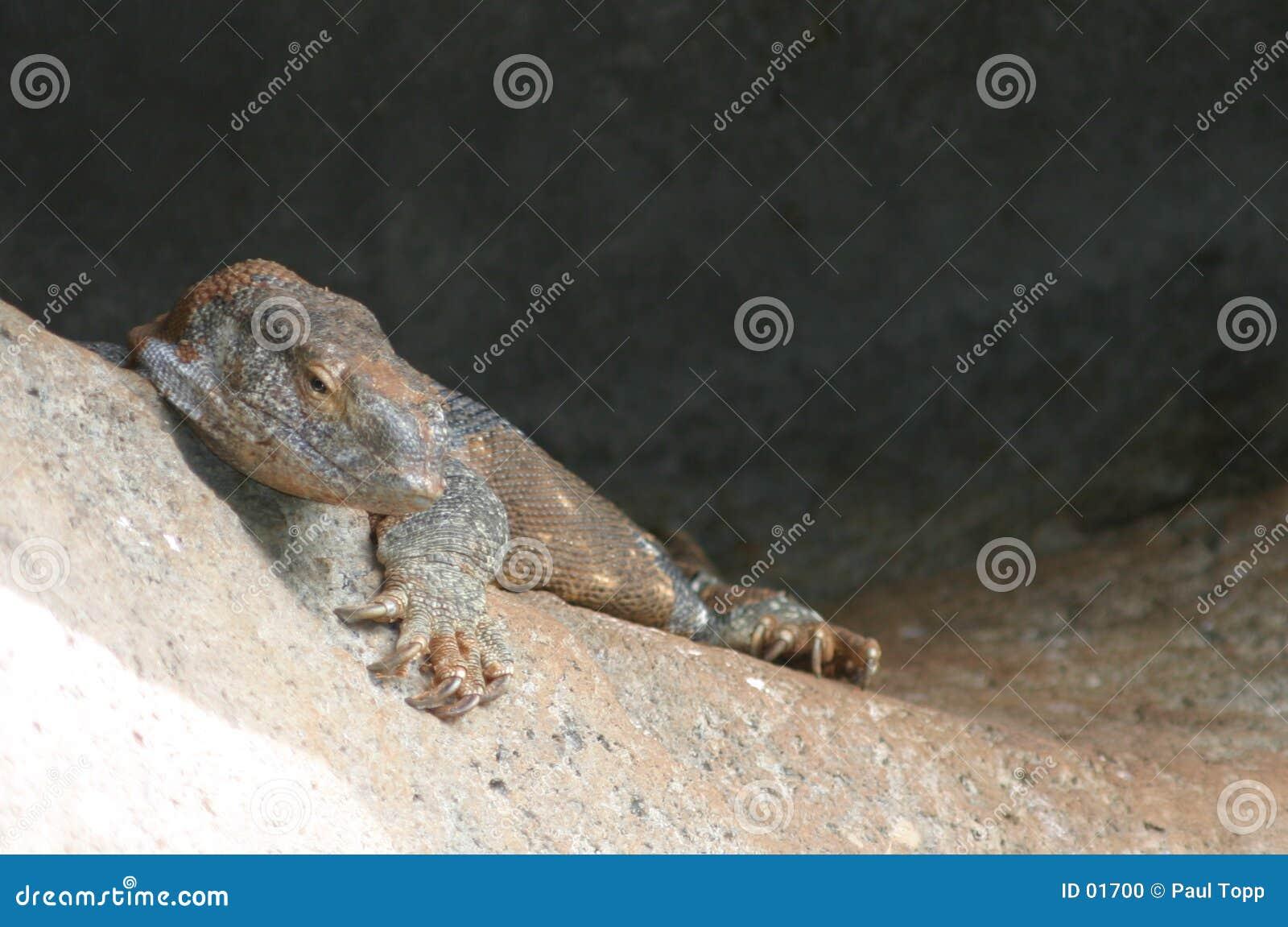 монитор ящерицы