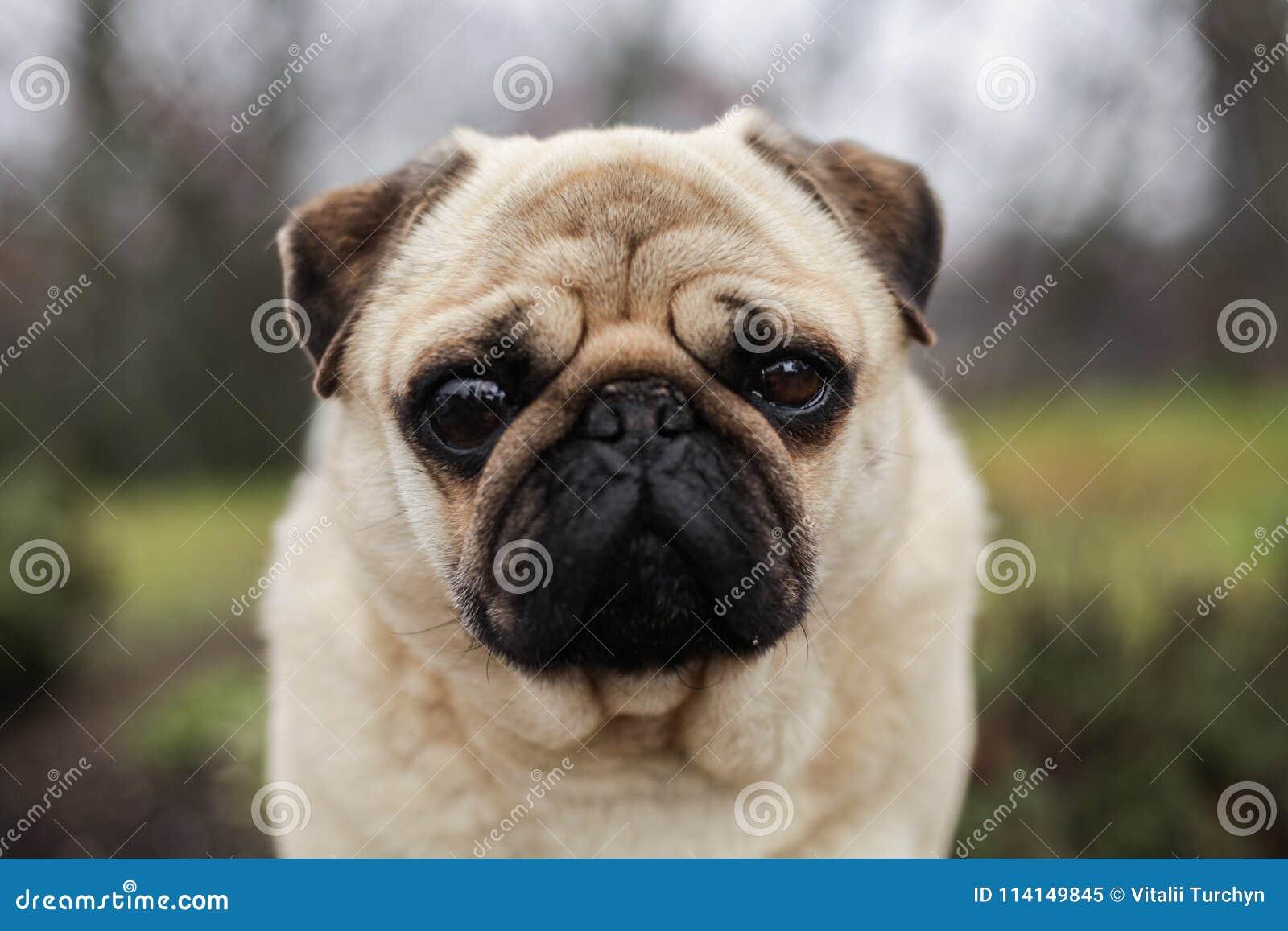 Мопс собака